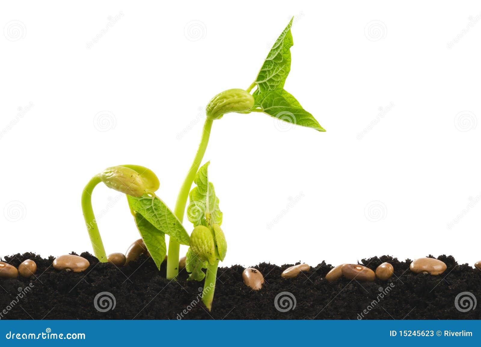 graine d 39 haricot de germination image stock image du horticulture jeune 15245623. Black Bedroom Furniture Sets. Home Design Ideas