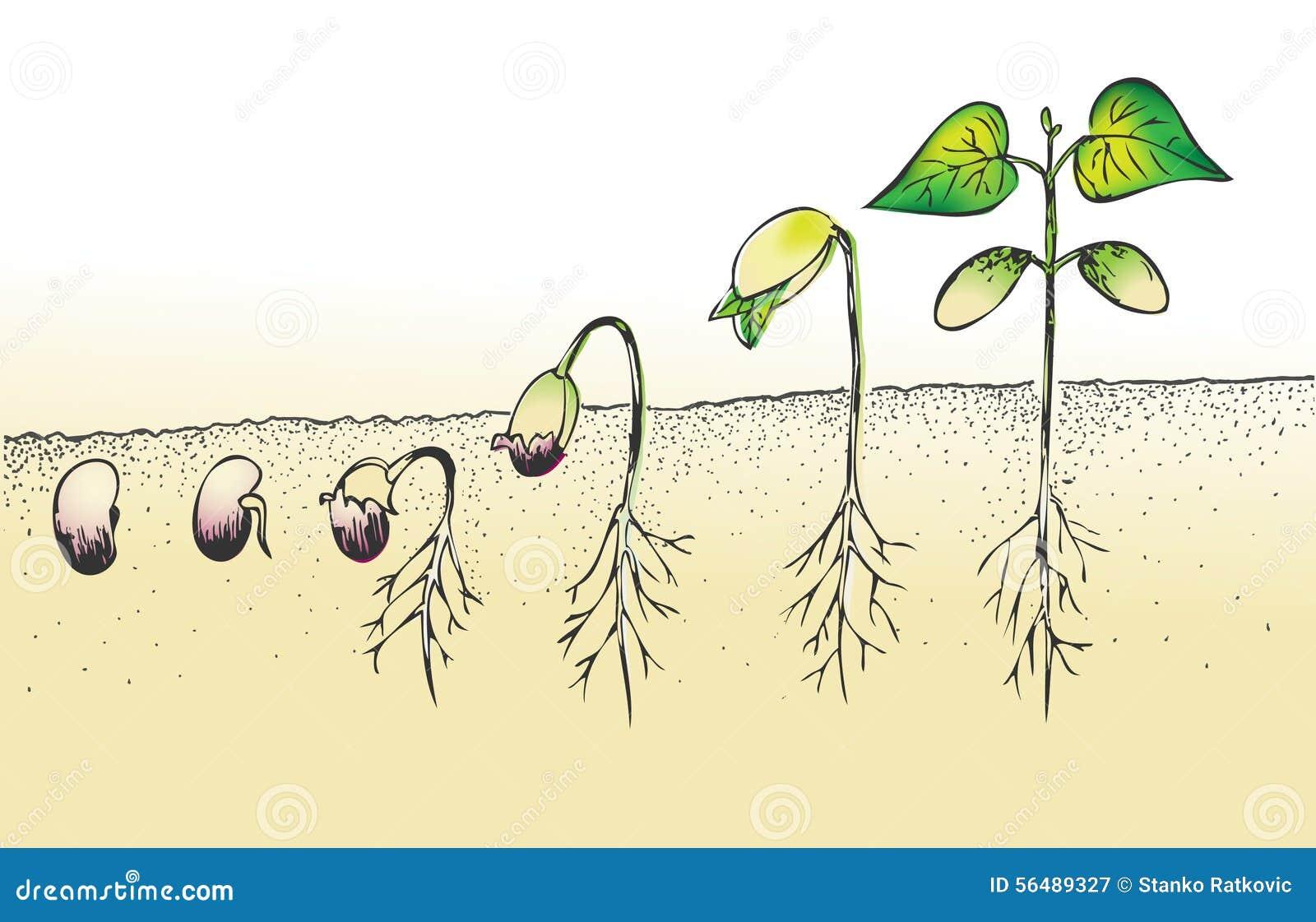Graine de germination d haricot