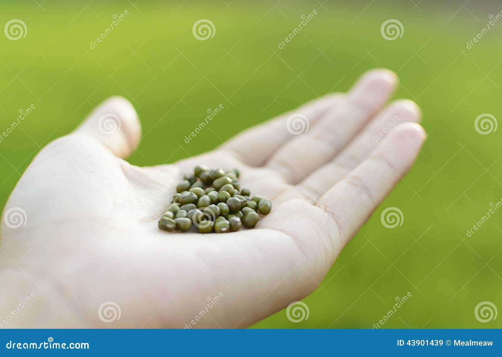 graine de haricot vert en main photo stock image 43901439. Black Bedroom Furniture Sets. Home Design Ideas