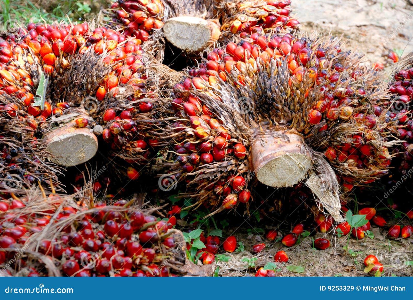 palmier graine