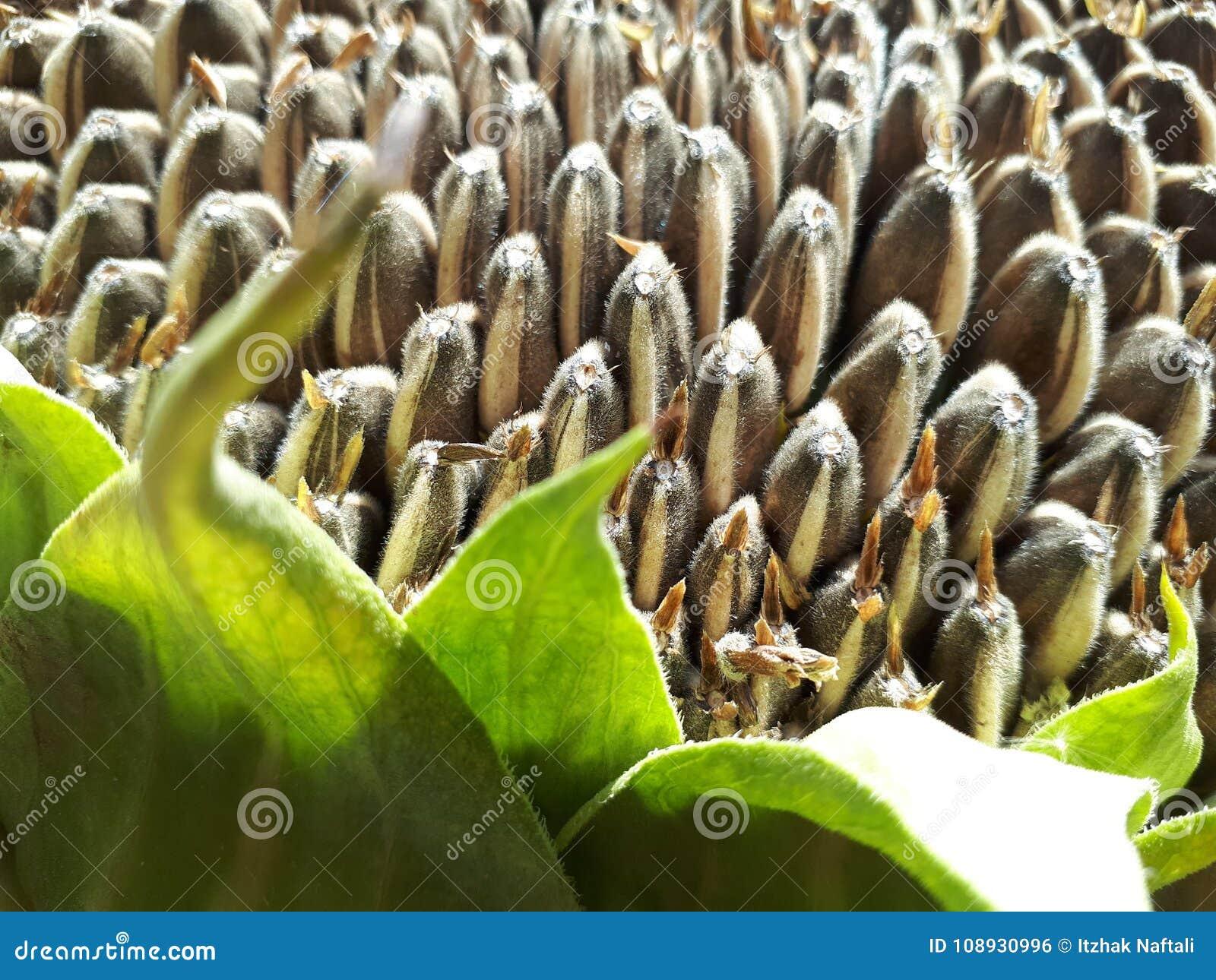 Graines de tournesol sèches