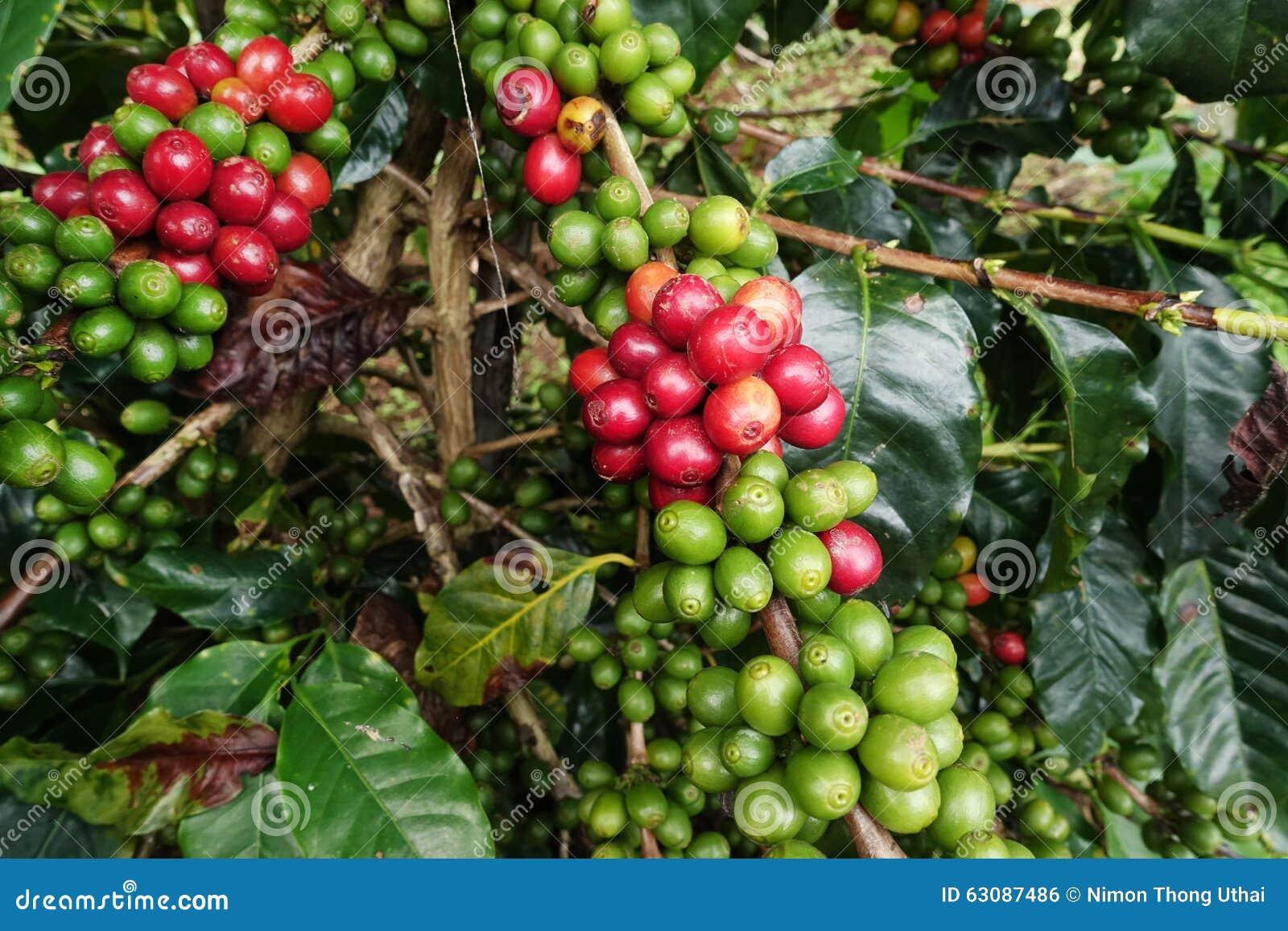 Download Grains De Café Mûrissant Sur Un Arbre Photo stock - Image du centrale, outdoors: 63087486