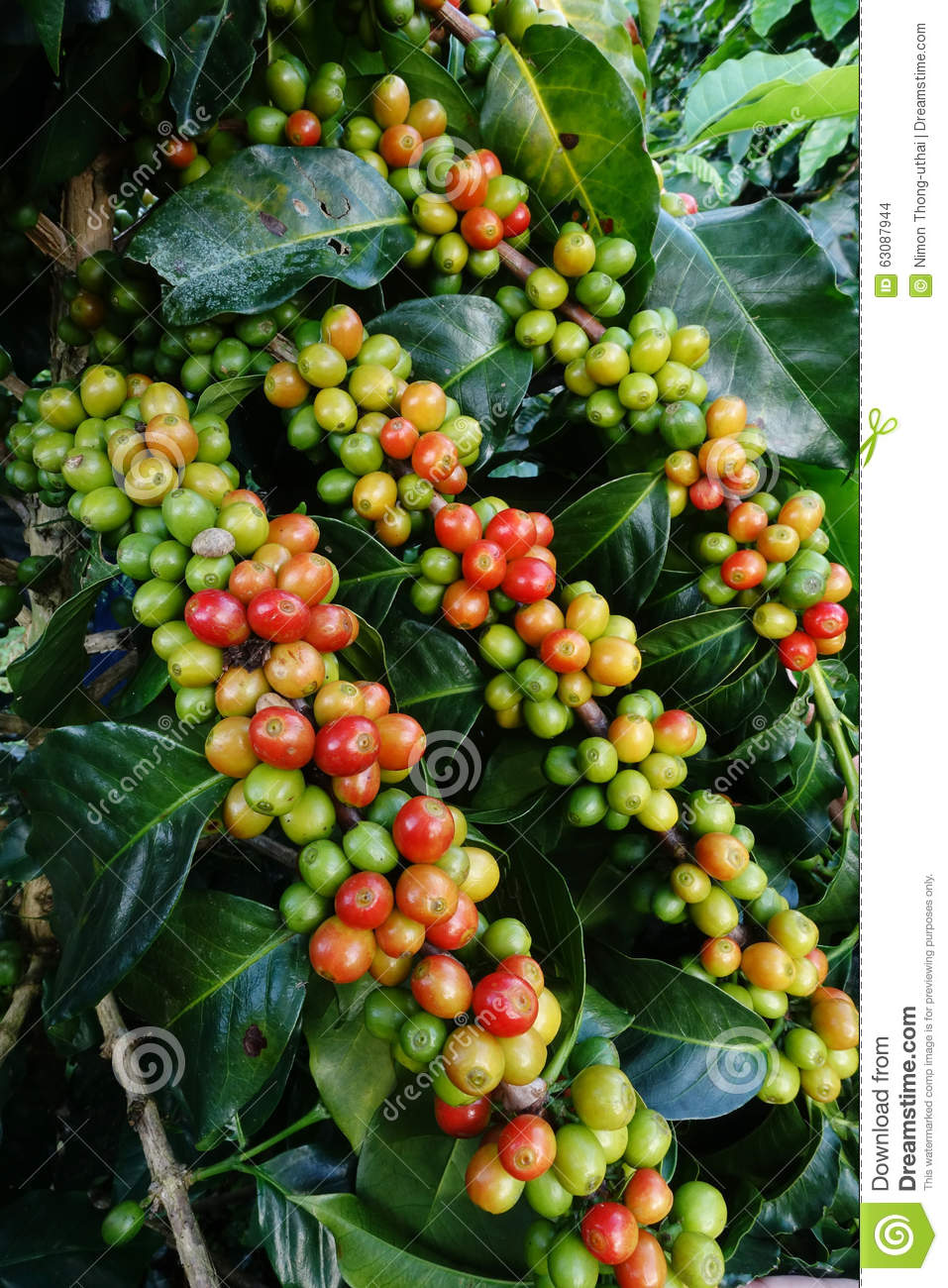 Download Grains De Café Mûrissant Sur Un Arbre Photo stock - Image du java, branchement: 63087944
