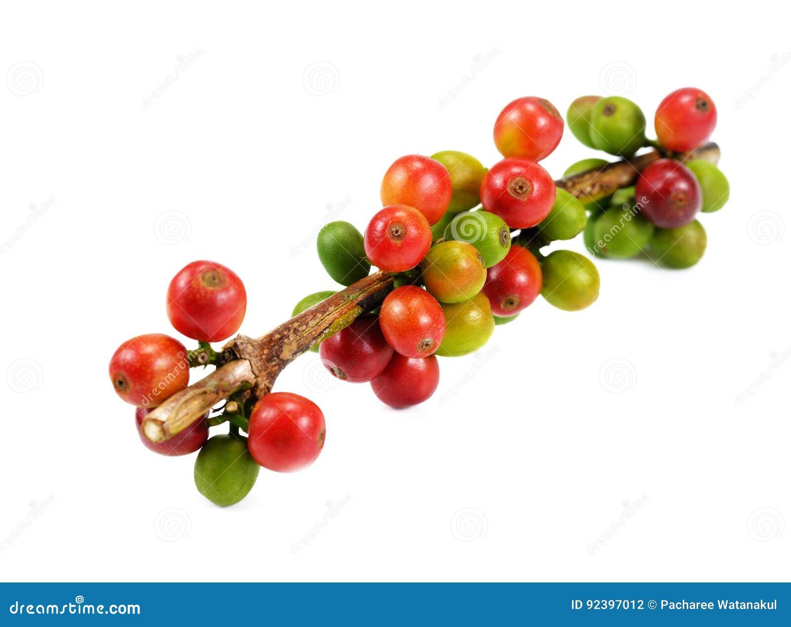 Grains de café rouges d isolement sur le fond blanc Fermez-vous de frais