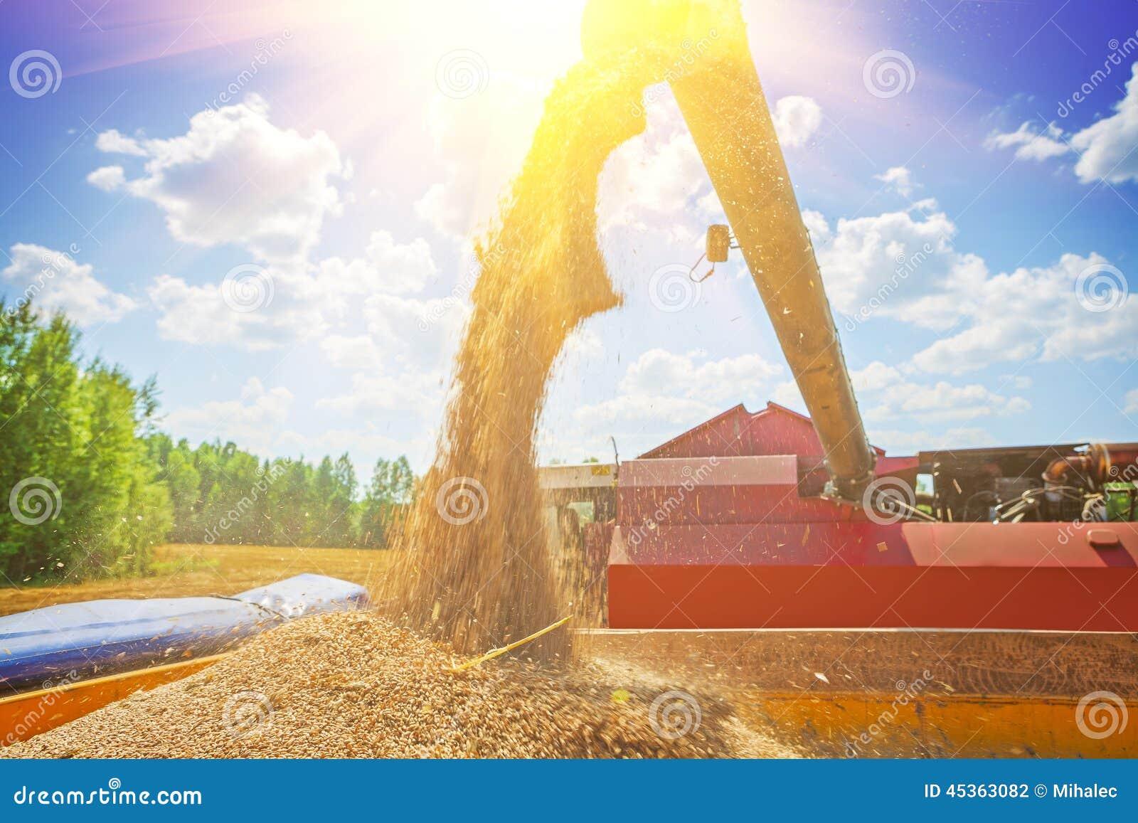 Grains de versement de moissonneuse de cartel de blé après moisson