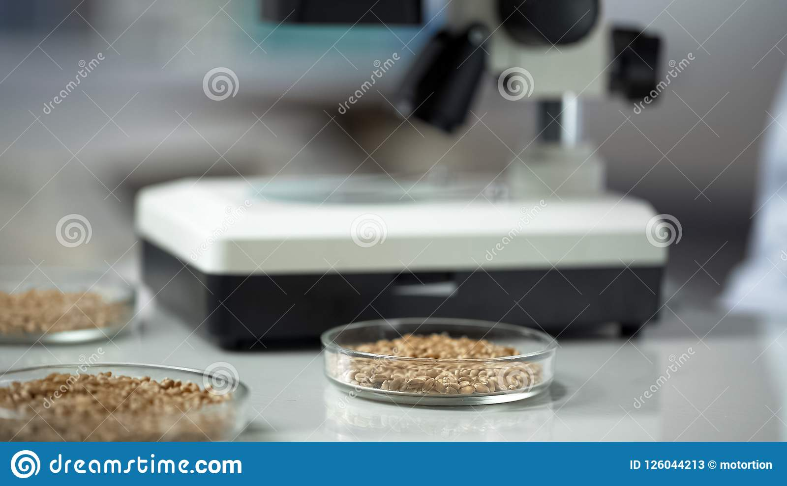 Grains in laboratory dishes on table, raw material for healthy food production