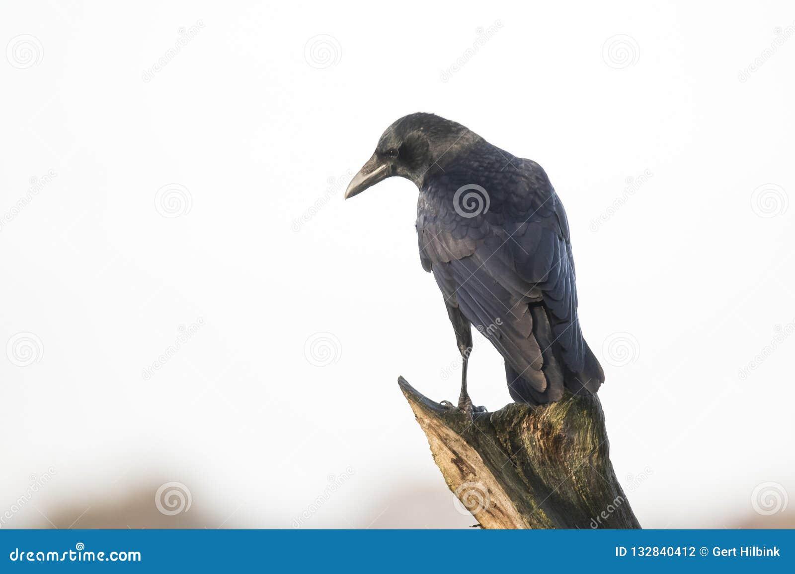 Grajo, frugilegus del Corvus