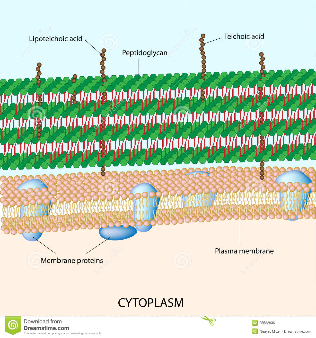 Gram Positive Bacterial Cell Wall Stock Vector Illustration Of