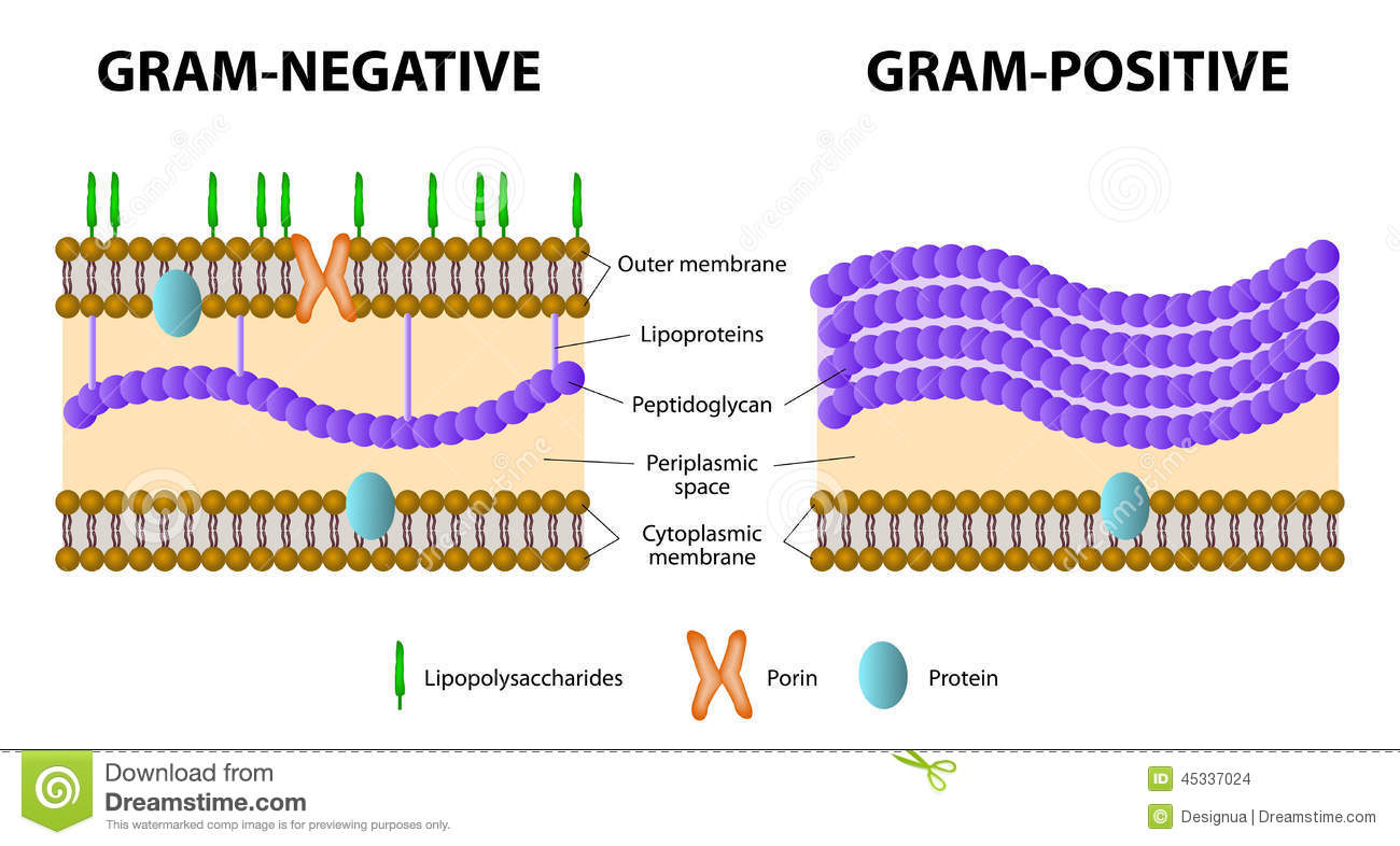 Gram positive and gram negative bacteria stock vector illustration download comp ccuart Image collections