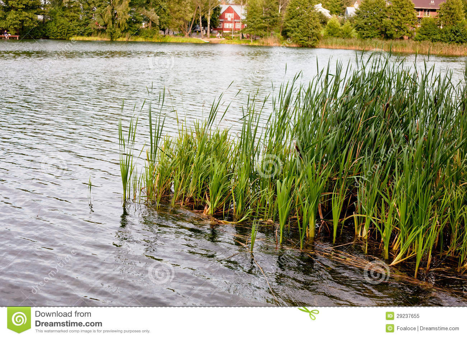 Download Grama da água no lago imagem de stock. Imagem de floresta - 29237655