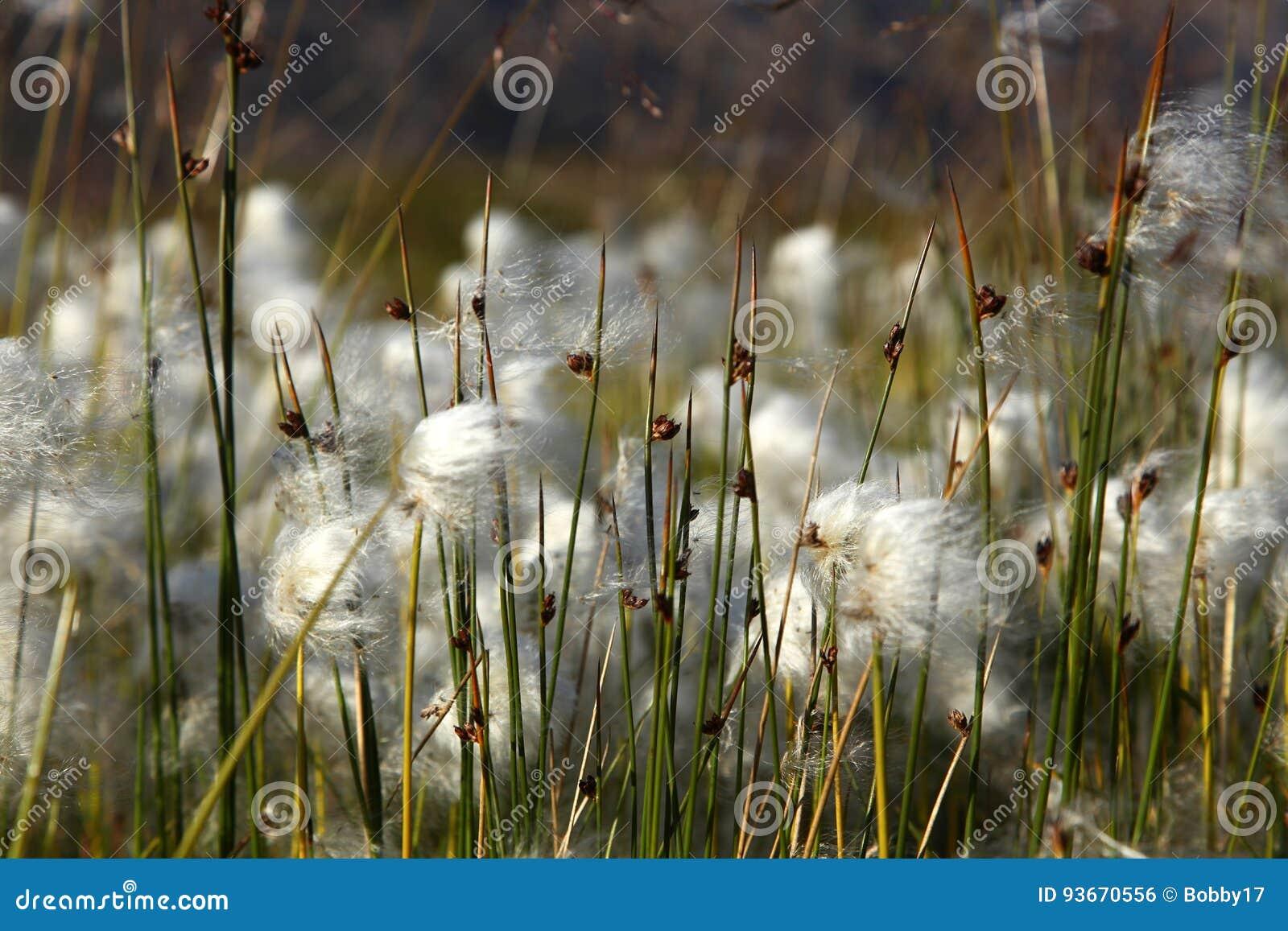 Grama de algodão