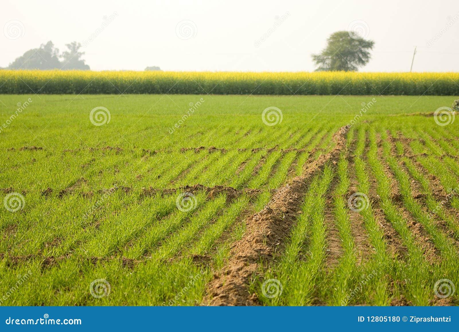 A grama verde