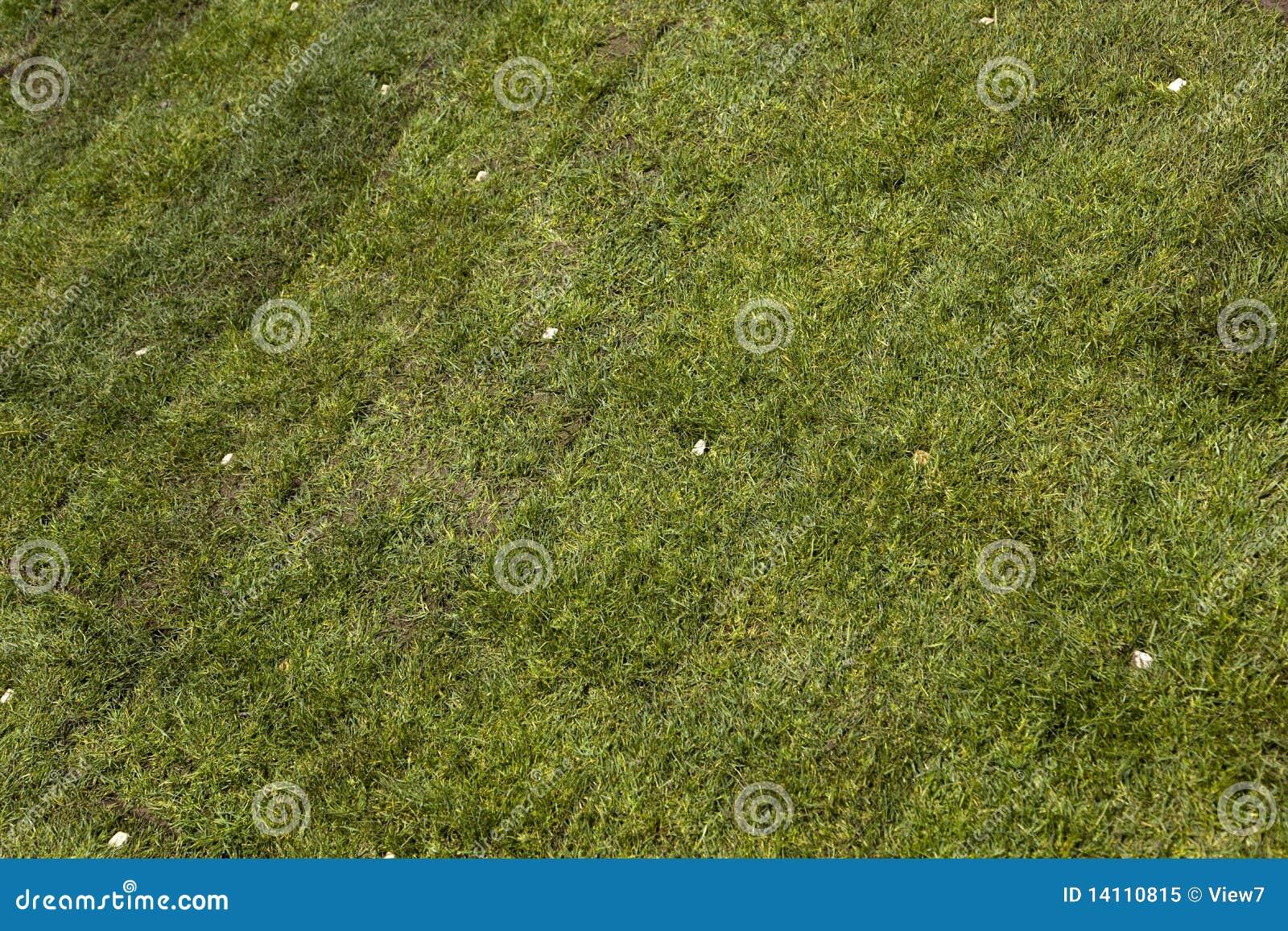 Grama verde do sod