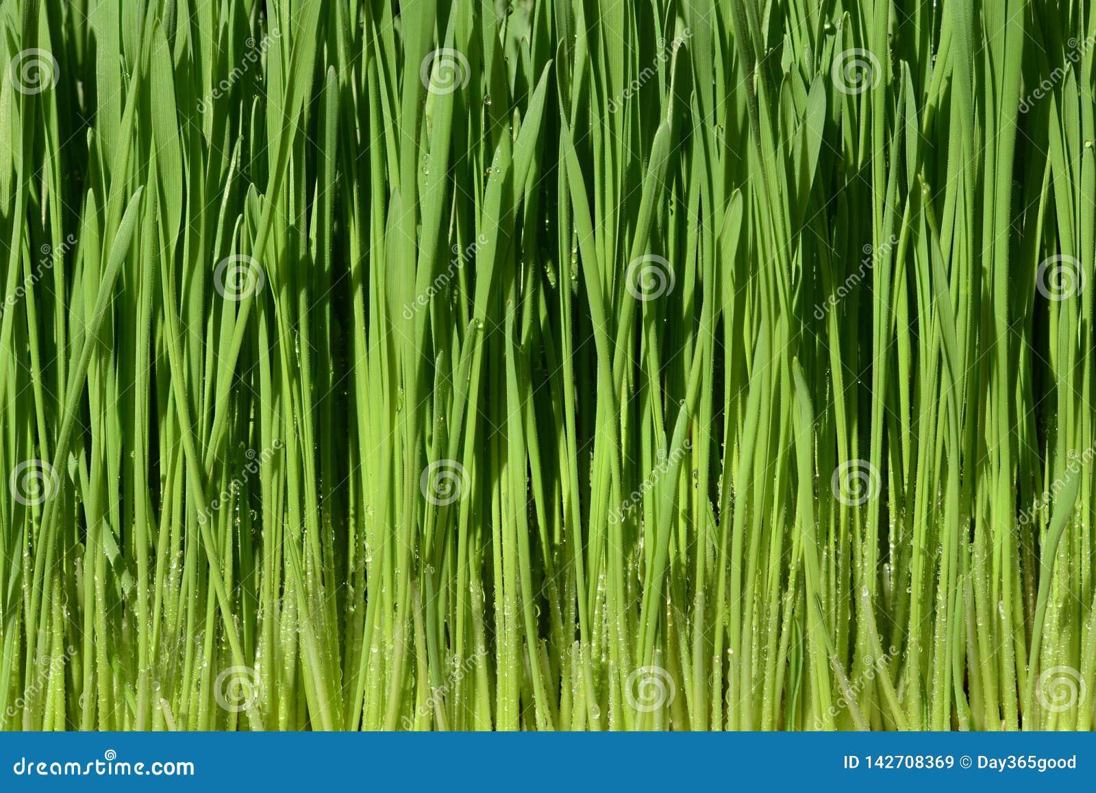 Grama verde do trigo com gotas da água