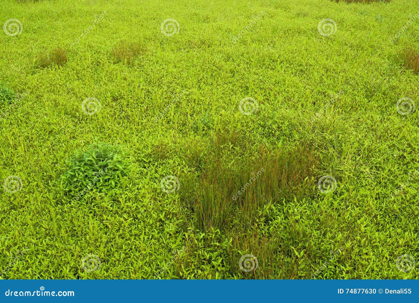 Grama verde e plantas selvagens no campo