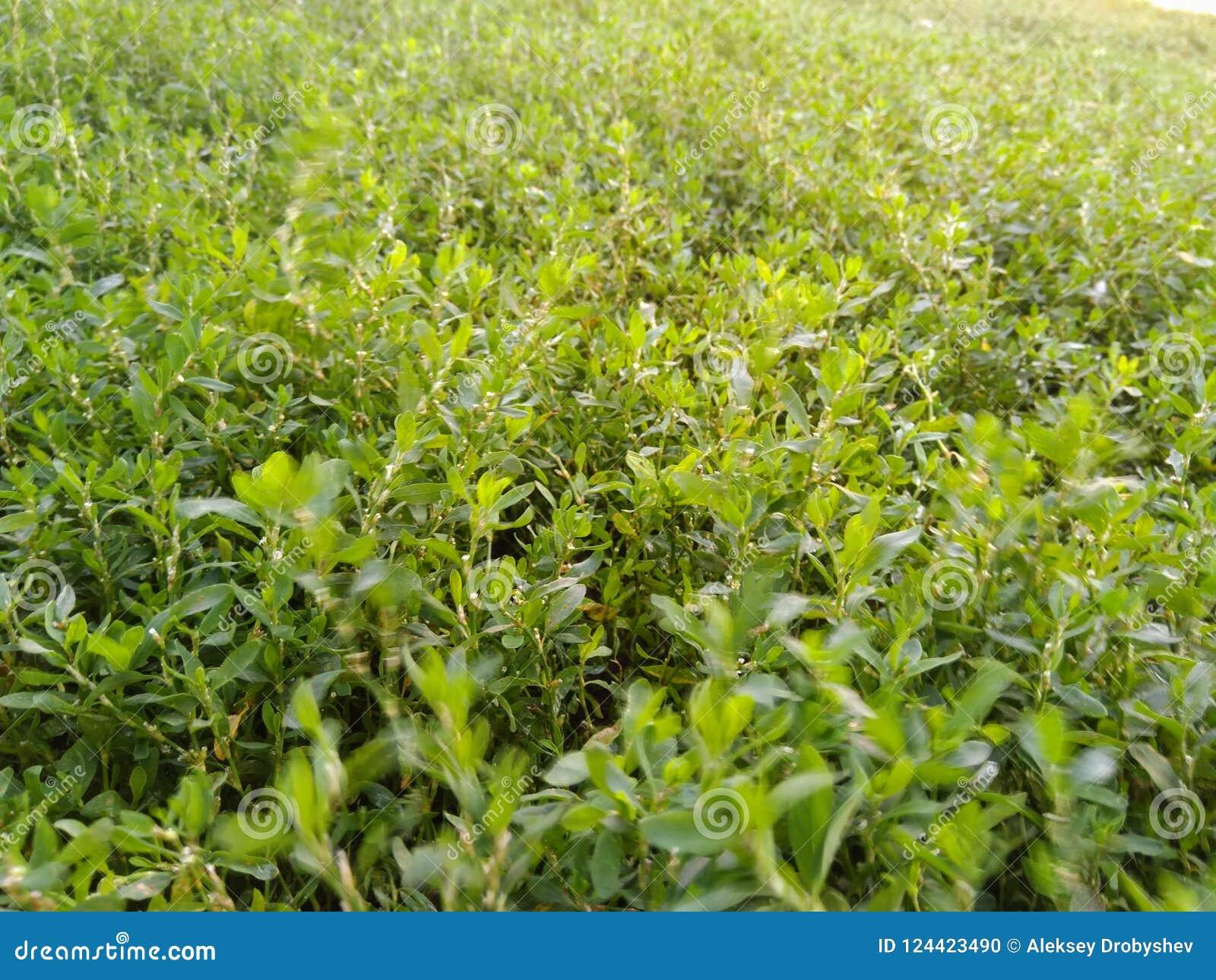 Grama verde em minha jarda