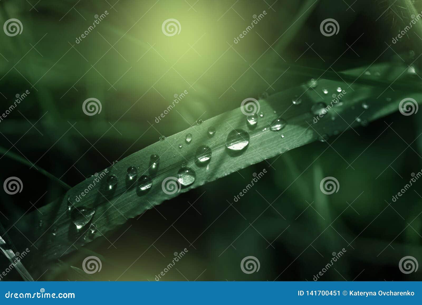 A grama verde fresca com gotas de orvalho fecha-se acima Fundo da grama verde Gota do orvalho na manhã na folha
