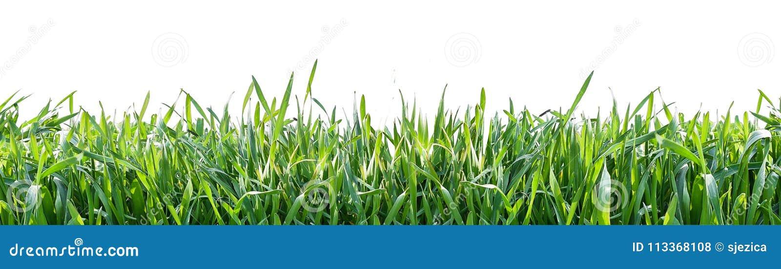 Grama verde isolada no fundo branco Fundo natural