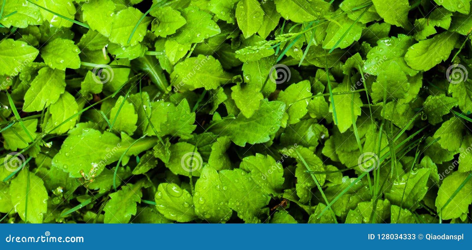 Gramado da pastagem; sward; greensward; grama-lote; grama