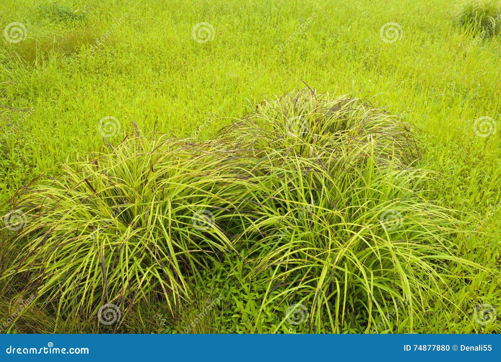 Gramas e groundcover no campo