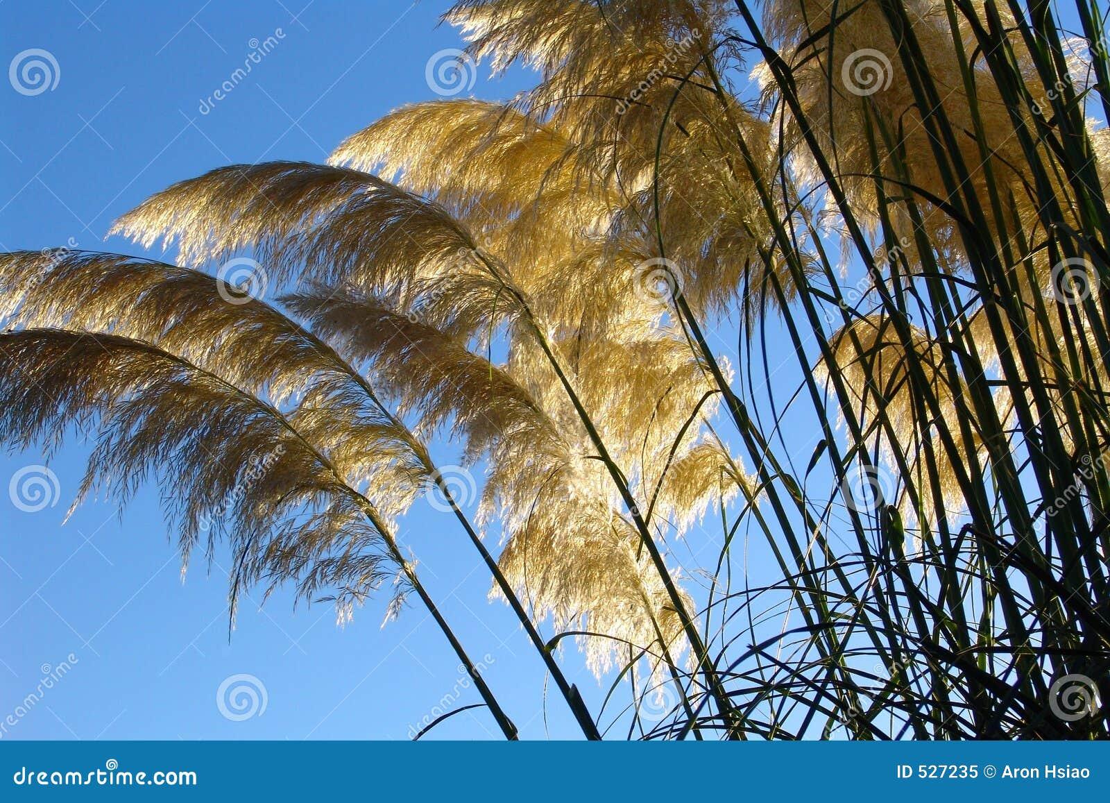 Gramas gigantes de encontro ao sol do verão