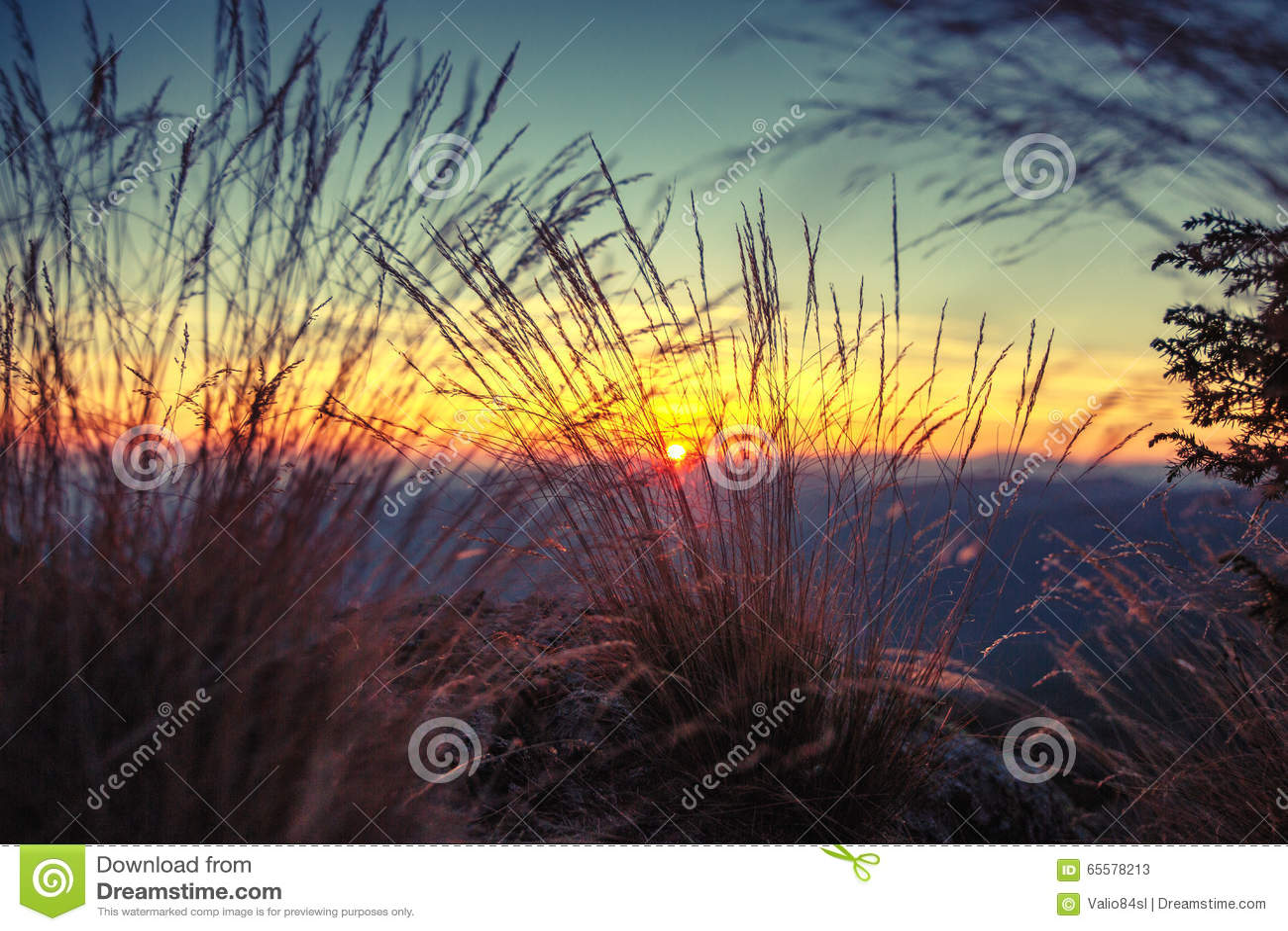 Gramas selvagens na paisagem dourada do por do sol do verão