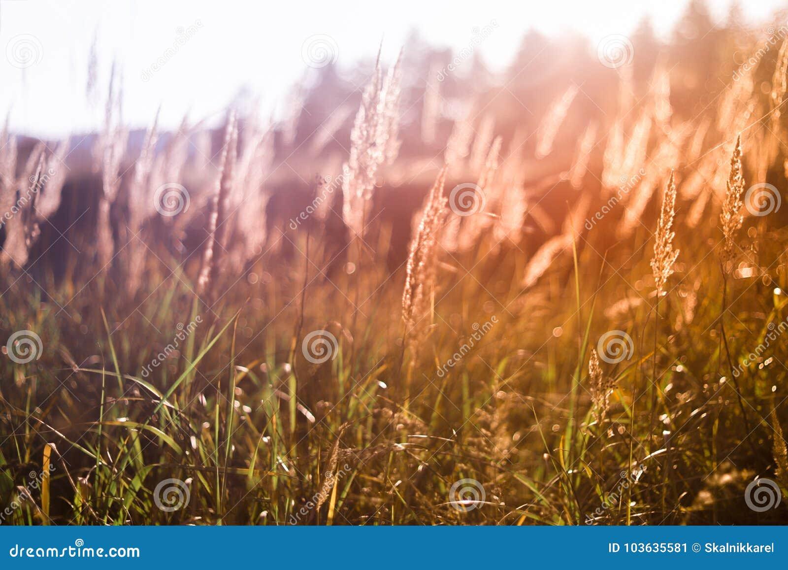 Gramas selvagens no por do sol