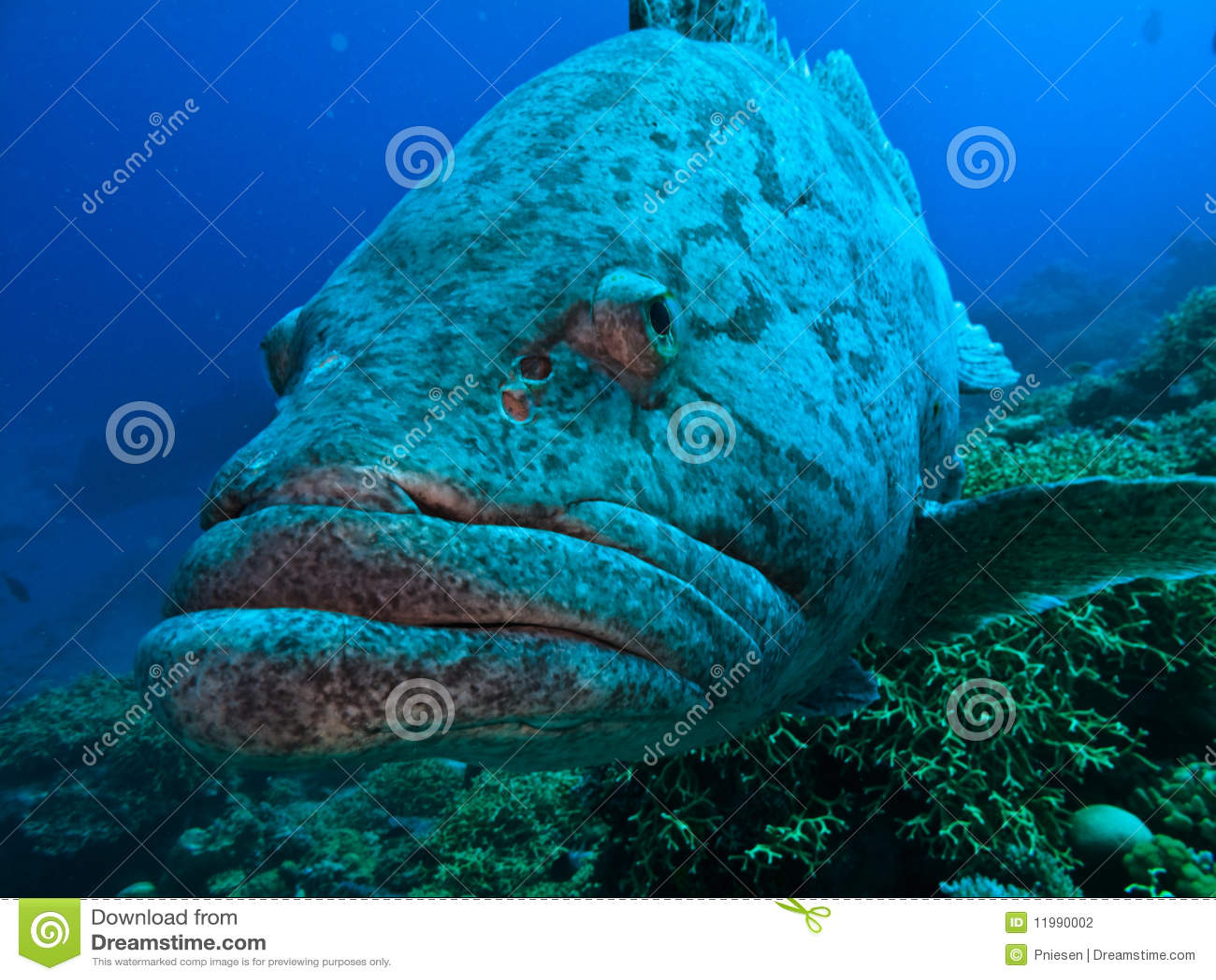Gran bacalao gigante de la patata de Australia del filón de barrera