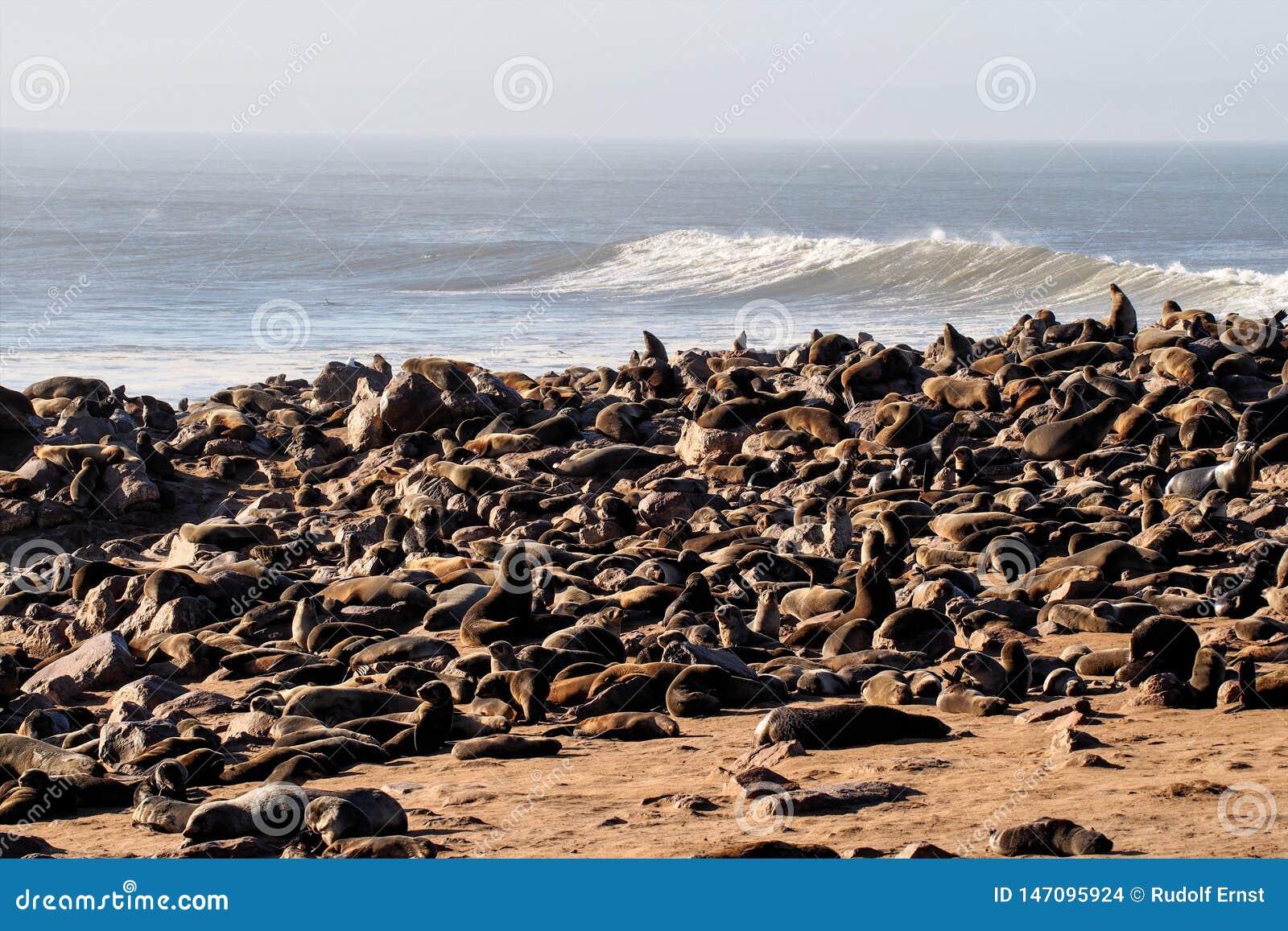 Gran colonia de lobos marinos del cabo en la cruz del cabo en Namibia