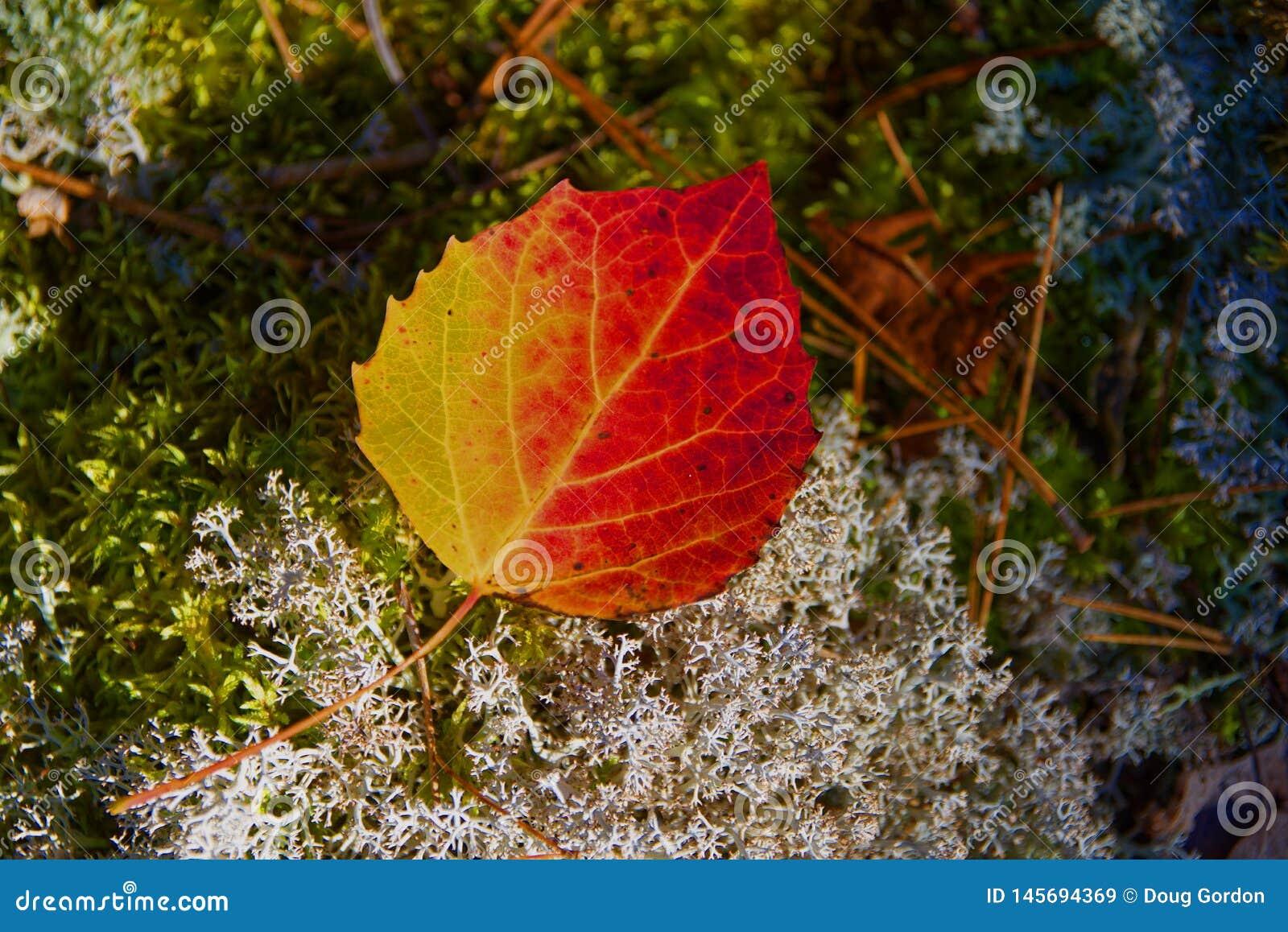 Gran-dente Aspen Leaf, Quetico, Ontario di autunno