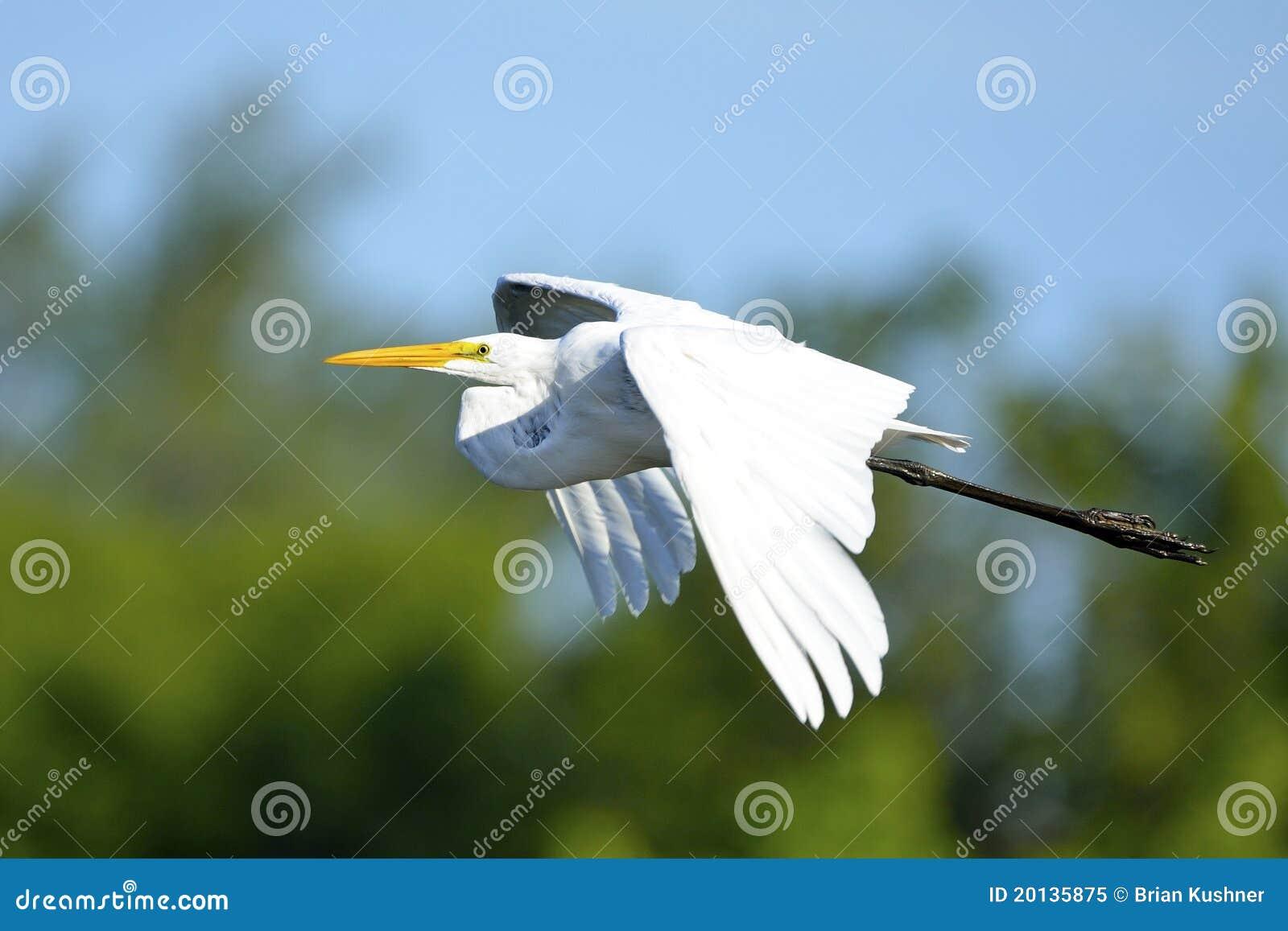Gran Egret