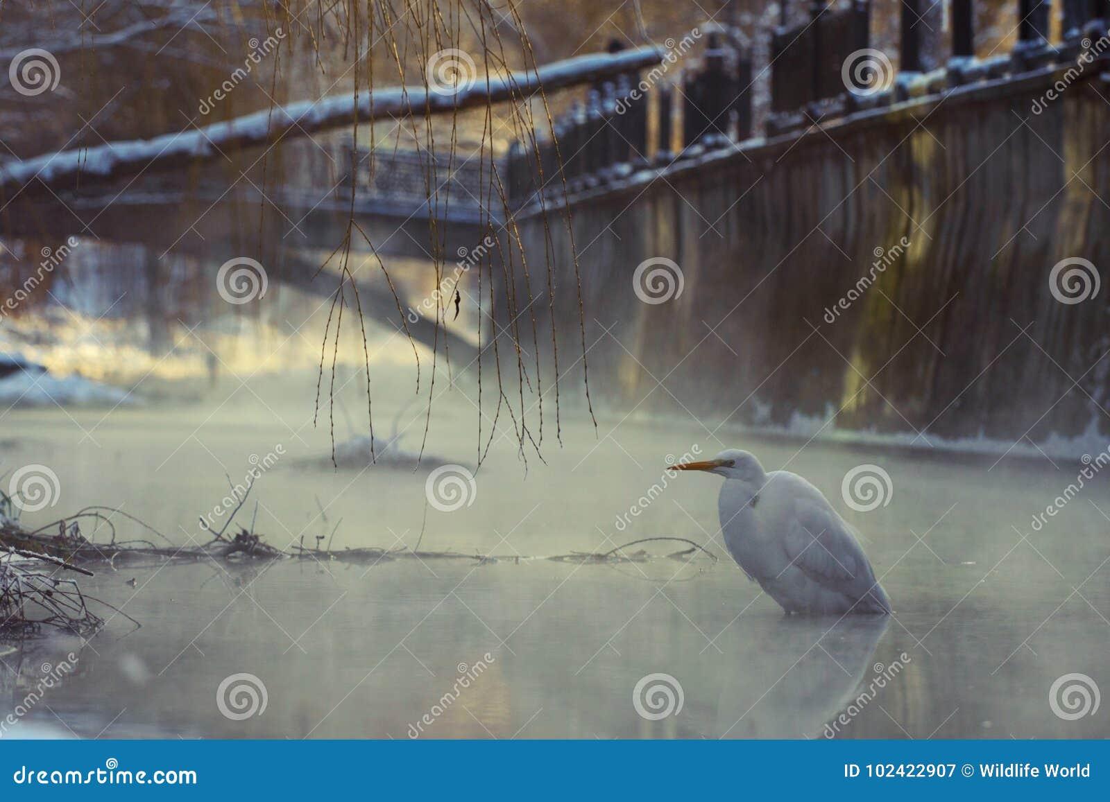 Gran garceta blanca que se coloca en un río de congelación