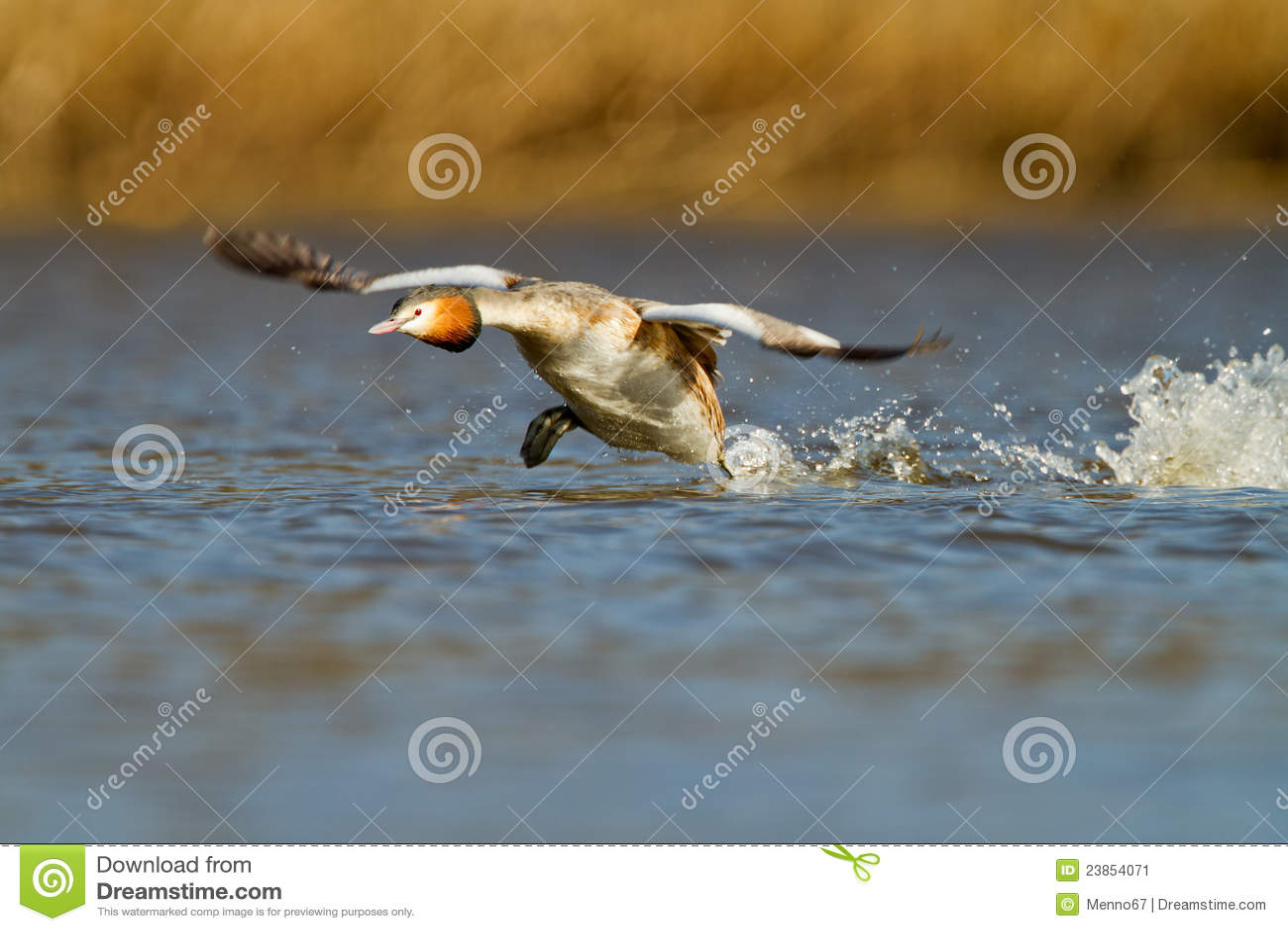 Gran Grebe con cresta, waterbird (cristatus del Podiceps