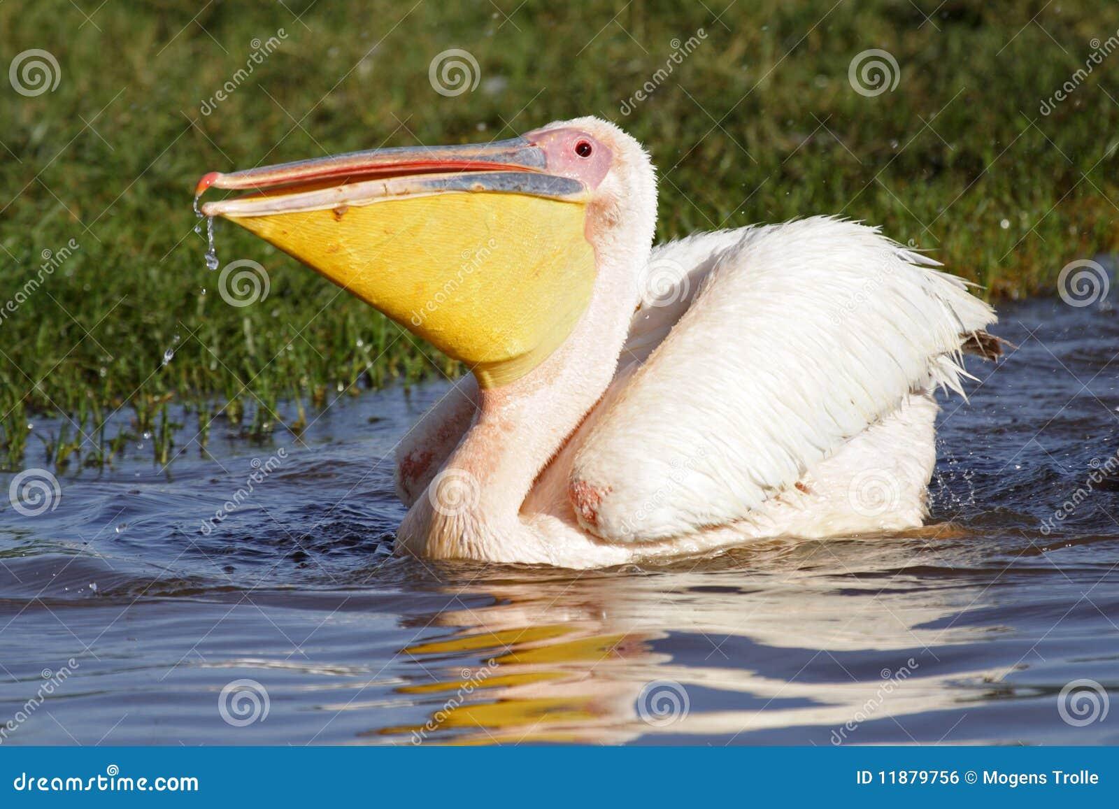 Q Es Un Pelicano Gran Pelícano ...
