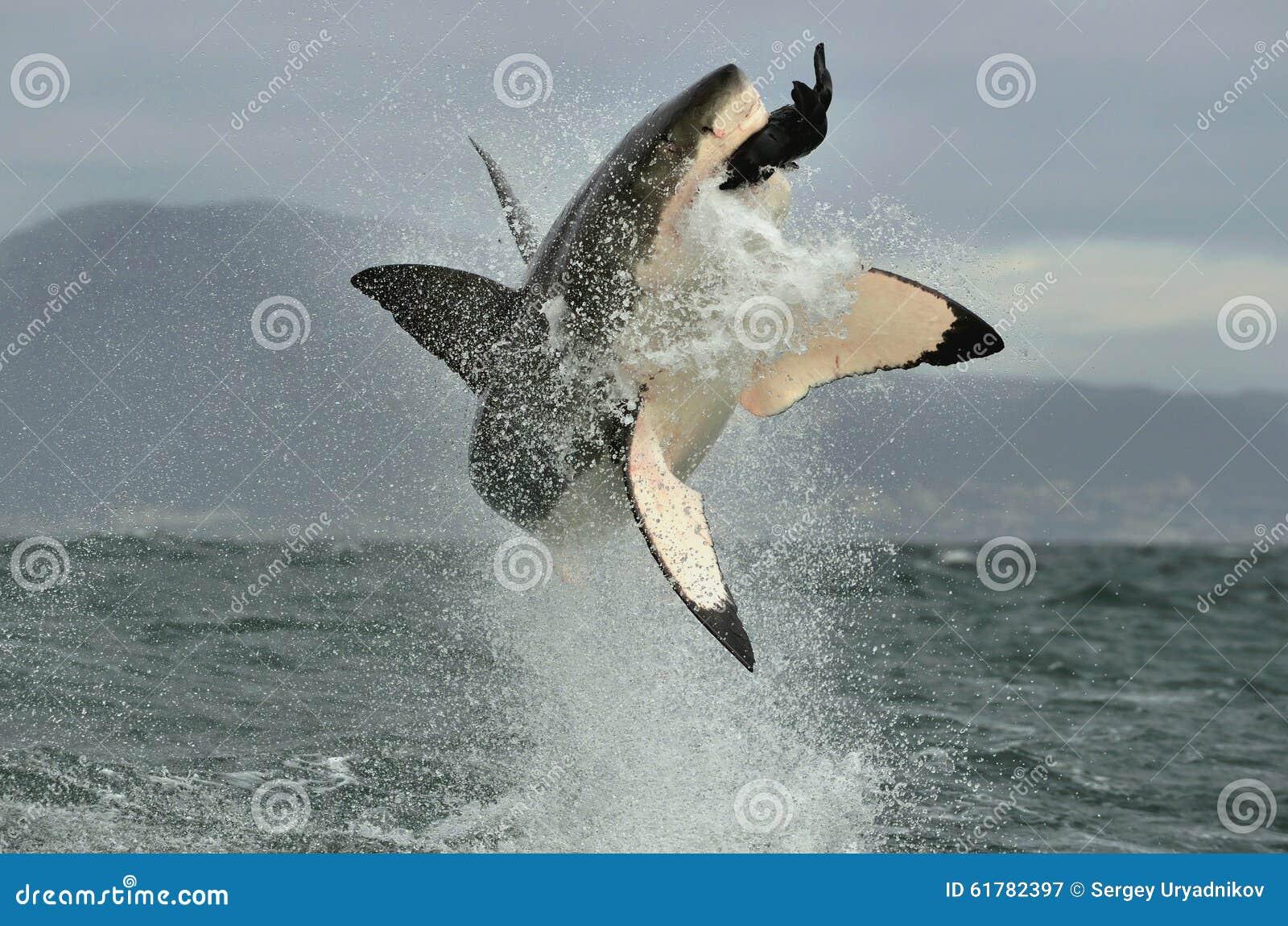 Gran tiburón blanco (carcharias del Carcharodon) que viola en un ataque