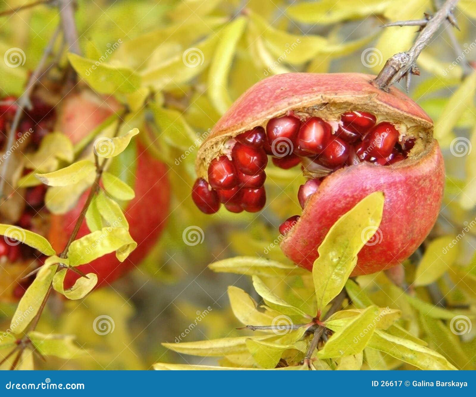 Download Granada imagen de archivo. Imagen de fruta, exótico, alimento - 26617