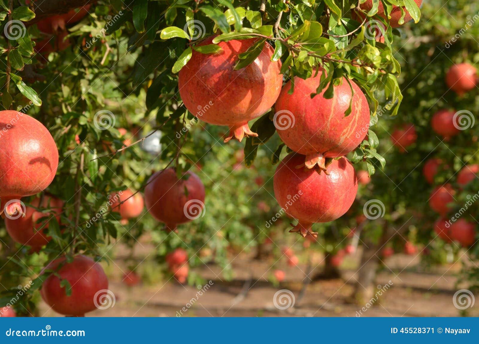 granatapfelbaum stockbild bild von landwirtschaft. Black Bedroom Furniture Sets. Home Design Ideas