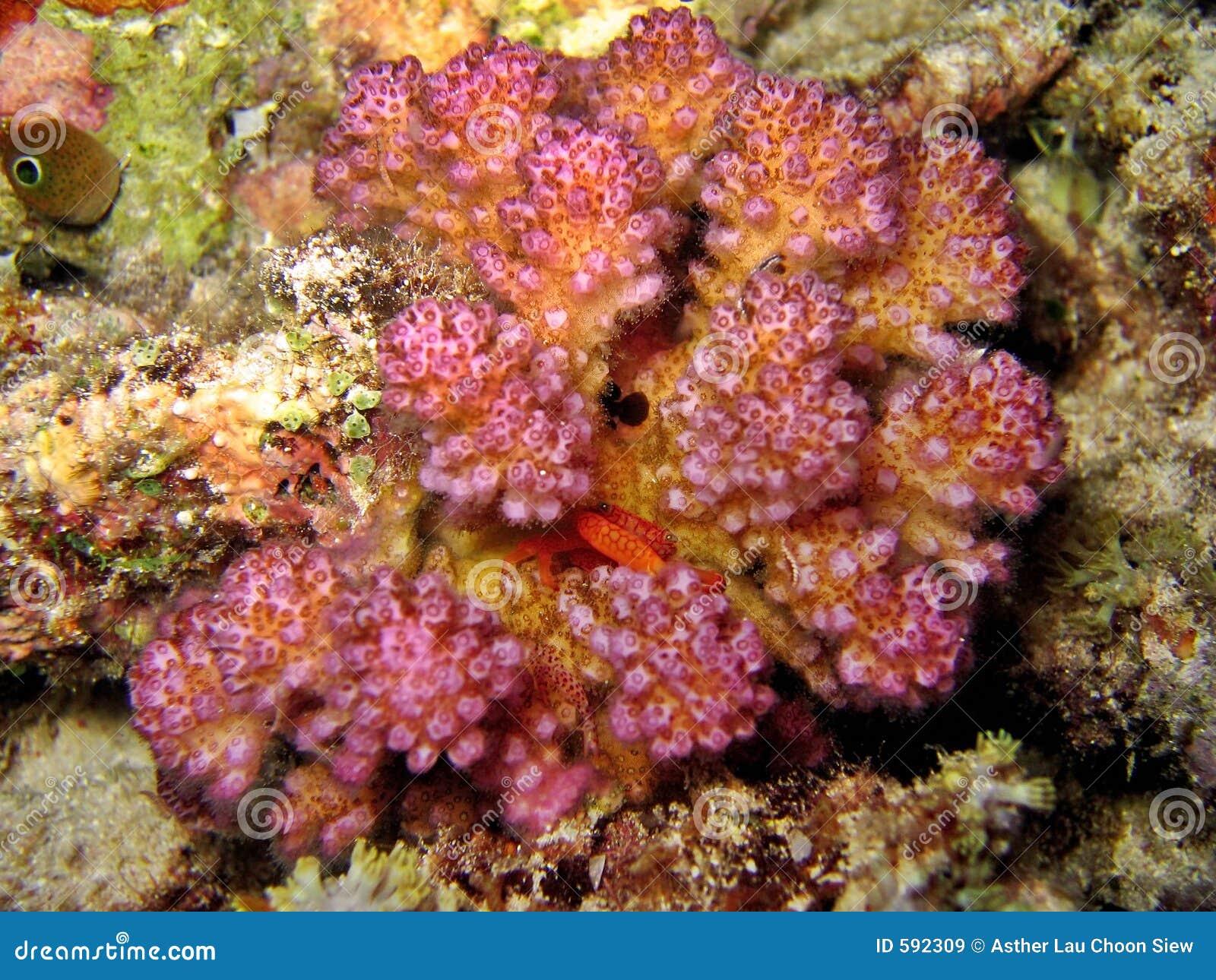 Granchio di corallo