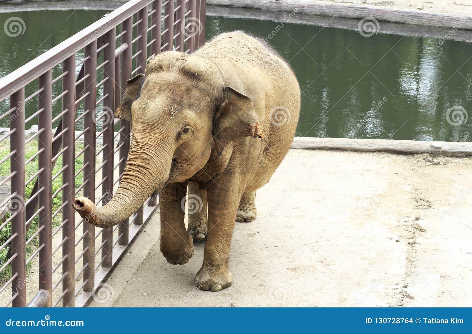 Grand éléphant au zoo par le plan rapproché de piscine