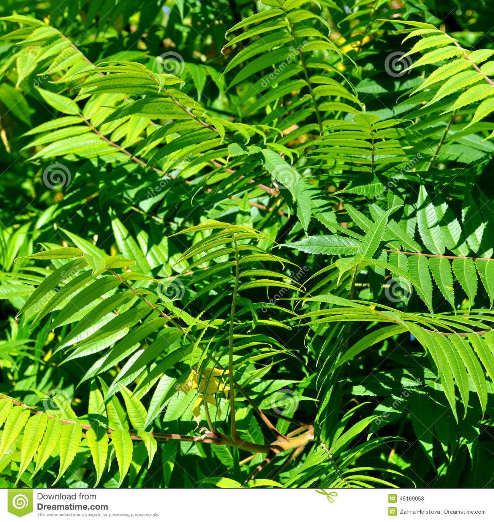 grand arbre feuilles caduques d 39 aylantus photo stock image du chinois lame 45169058. Black Bedroom Furniture Sets. Home Design Ideas