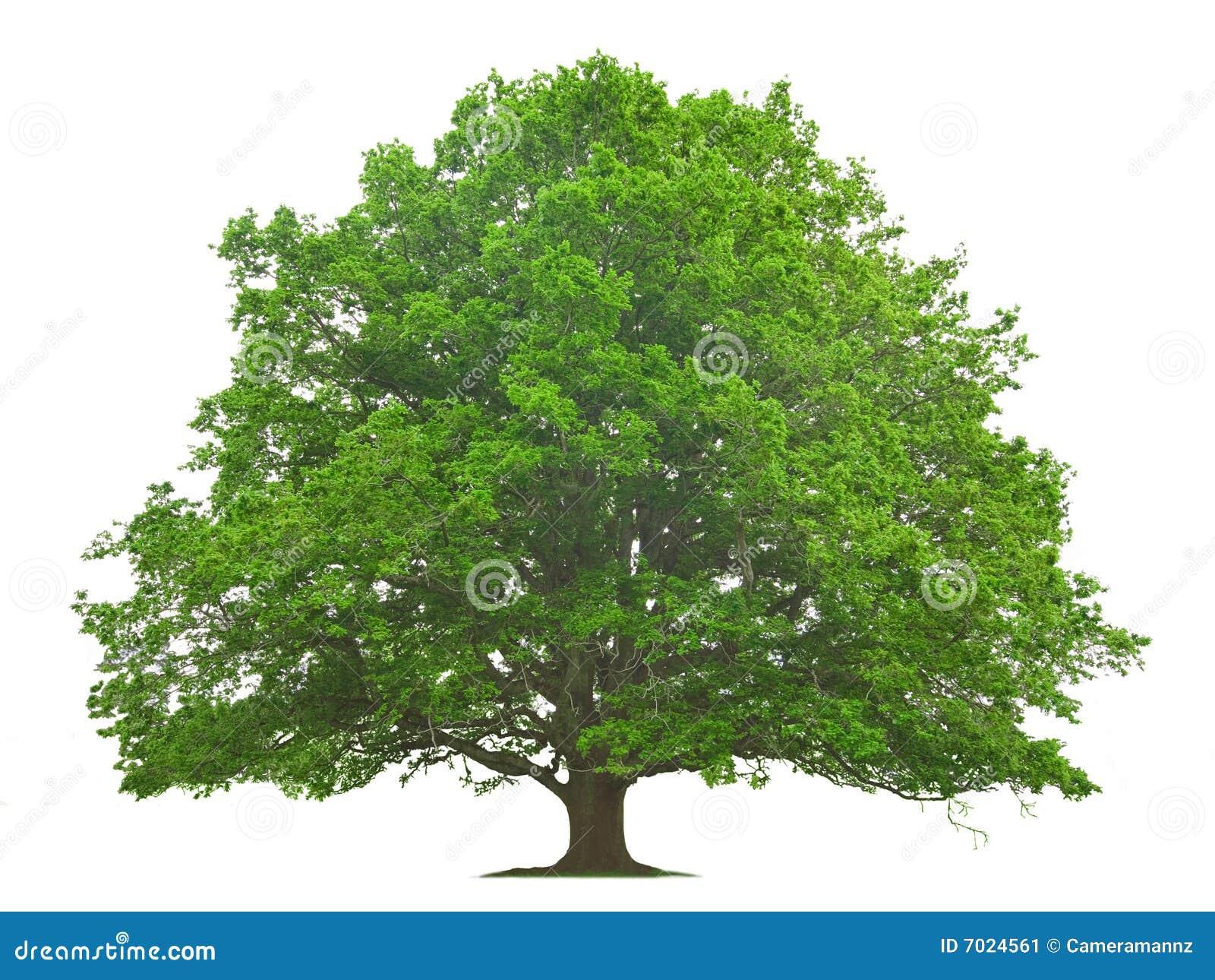 grand arbre image stock image 7024561. Black Bedroom Furniture Sets. Home Design Ideas