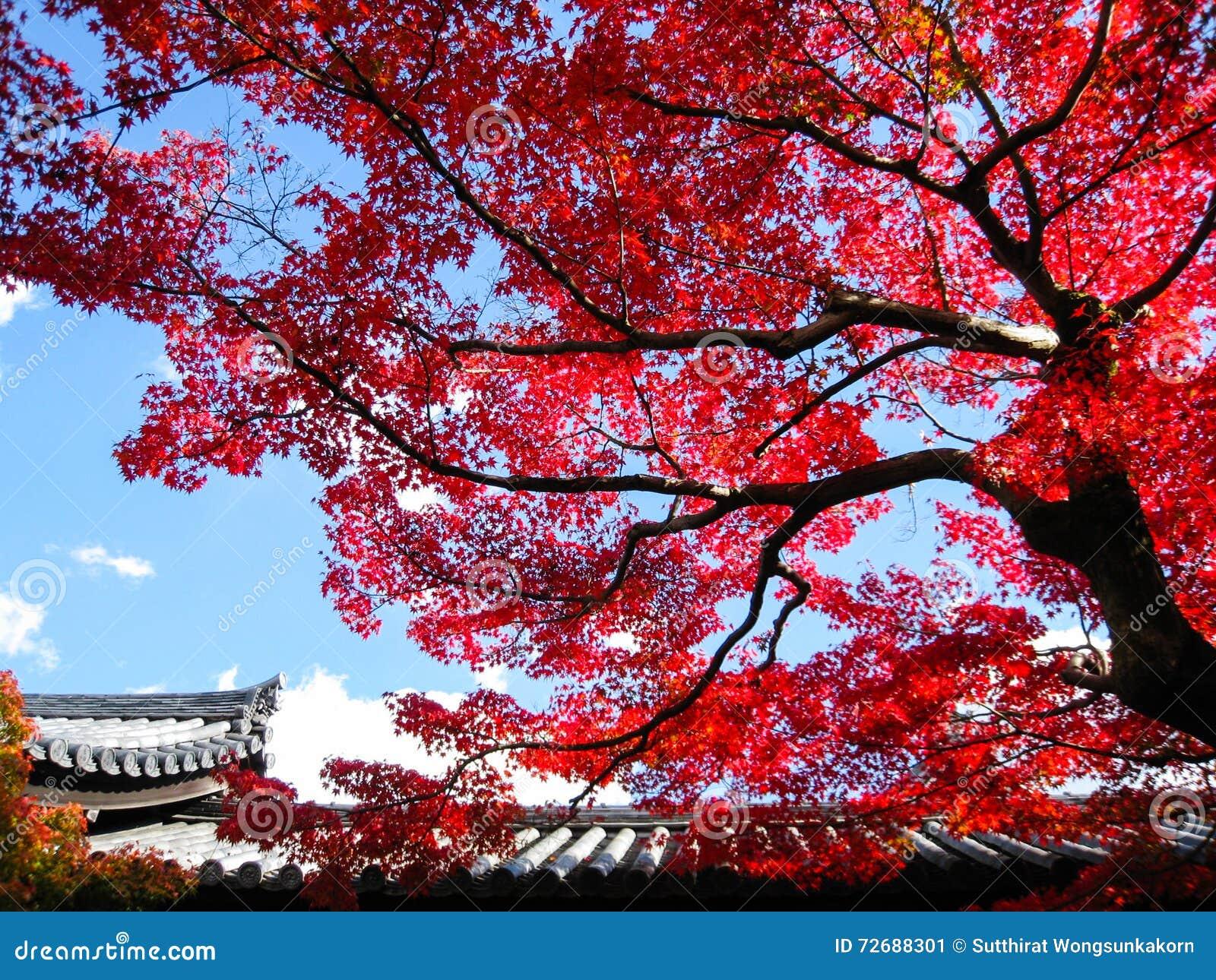 grand arbre avec la feuille rouge chez tofukuji à kyoto image stock