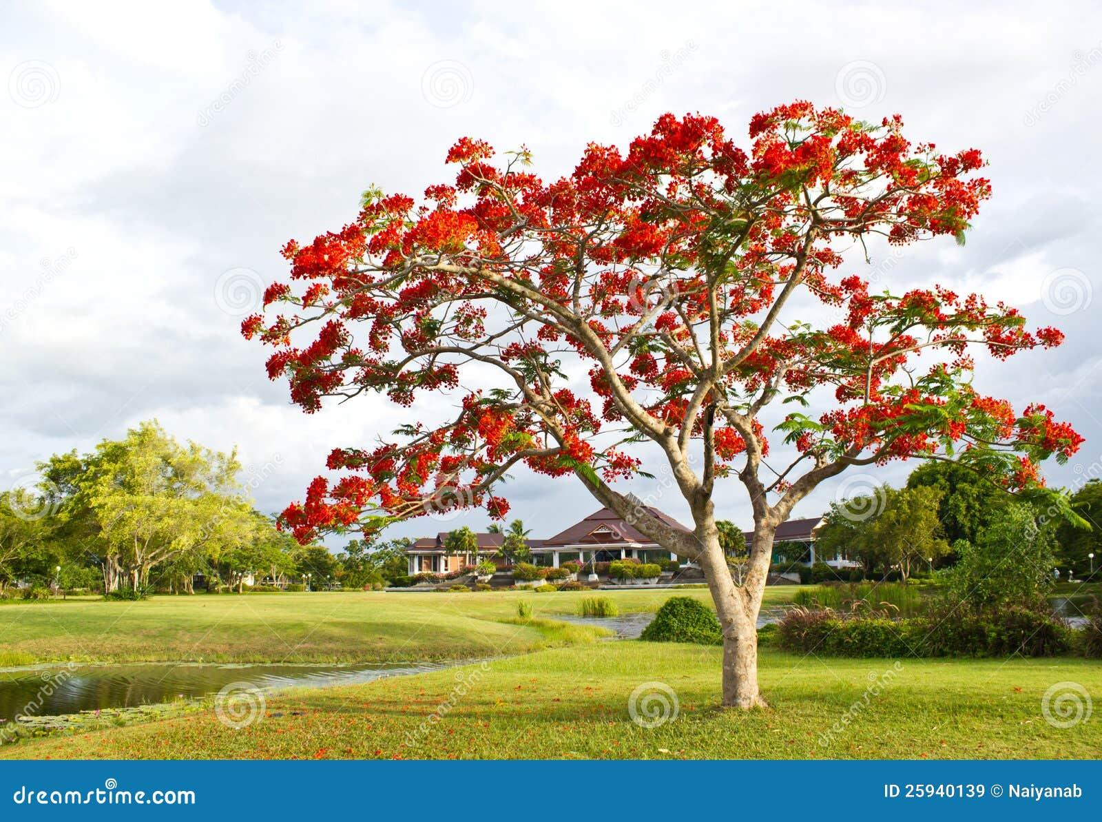 Grand arbre avec les fleurs rouges en stationnement images libres de droits image 25940139 - Arbres a fleurs rouges ...