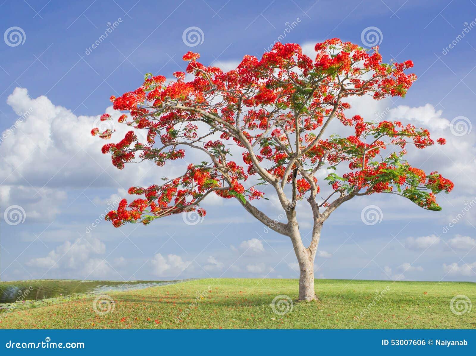 Grand arbre avec les fleurs rouges en stationnement photo stock image 53007606 - Arbres a fleurs rouges ...