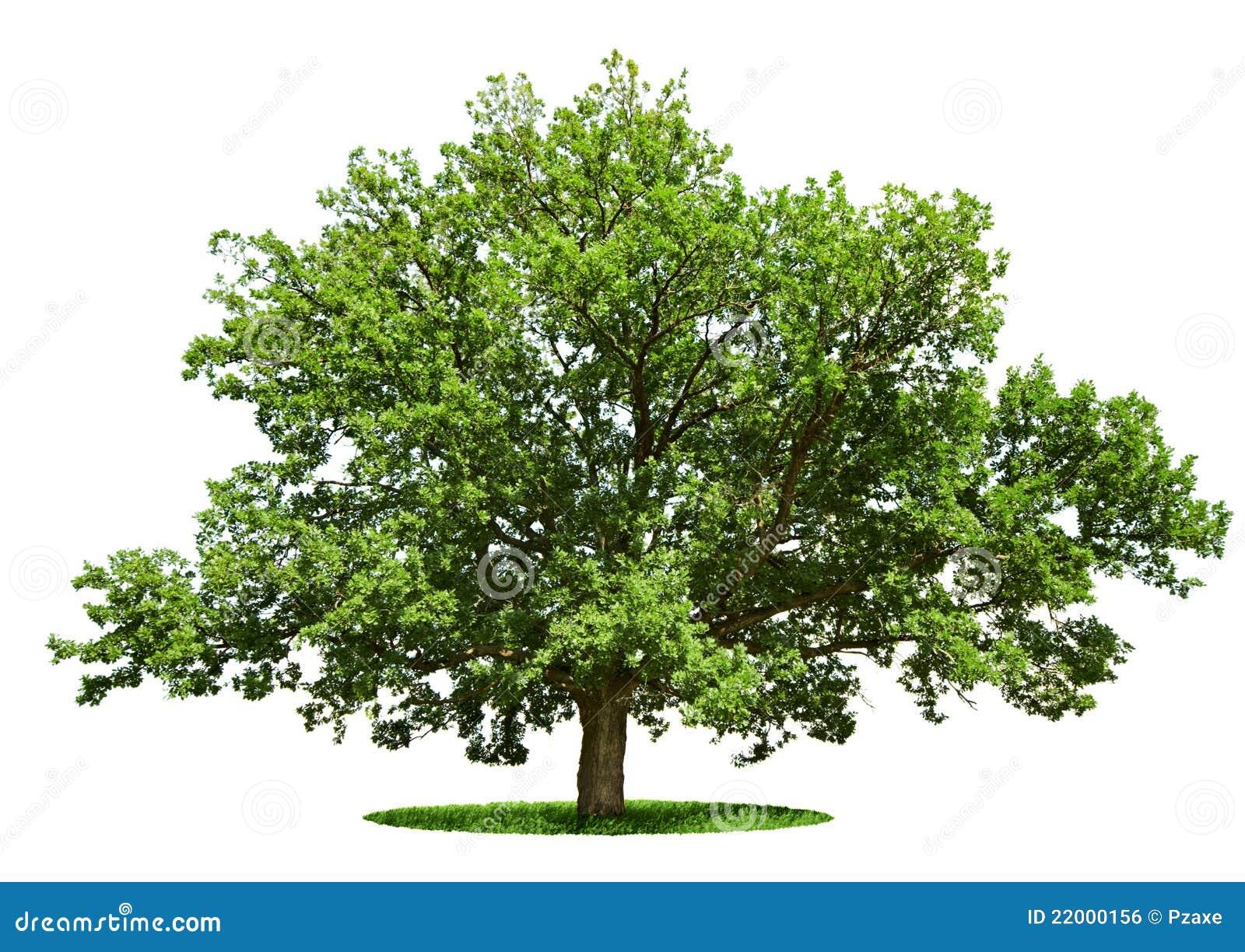 Grand arbre - chêne d isolement sur un blanc