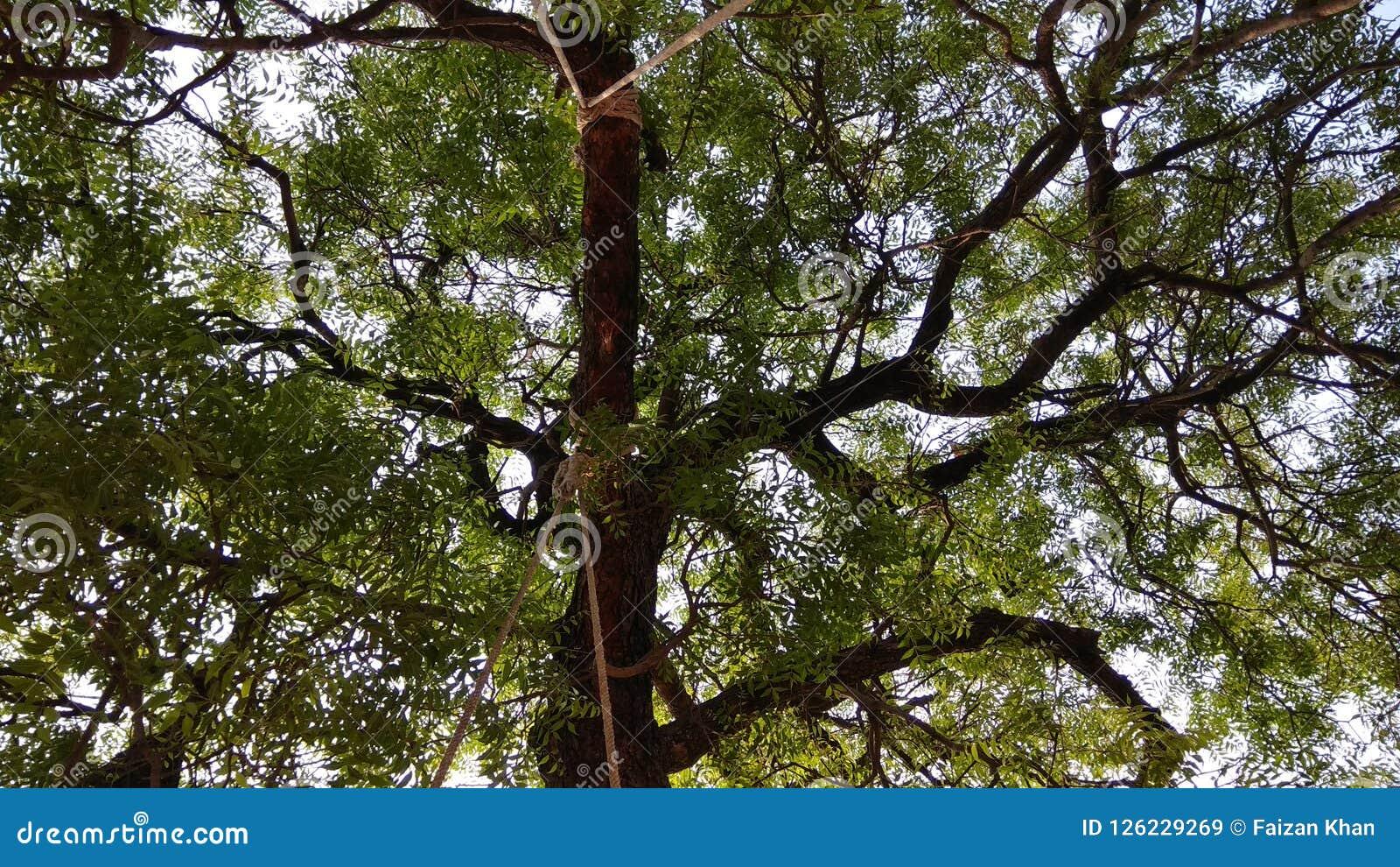 Grand arbre cliqué sur d une oscillation