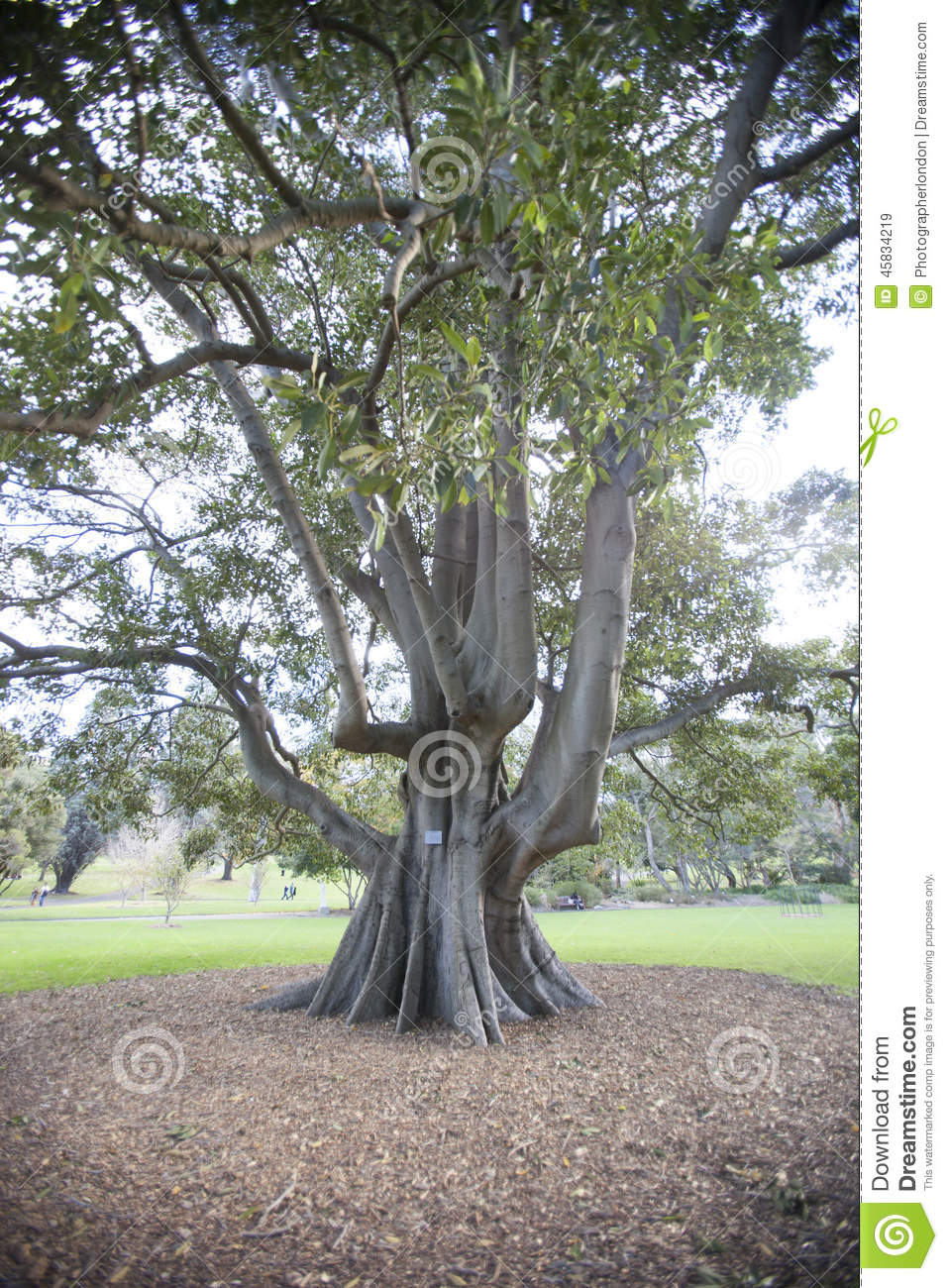 grand arbre dans le jardin botanique sydney australie photo stock image 45834219. Black Bedroom Furniture Sets. Home Design Ideas