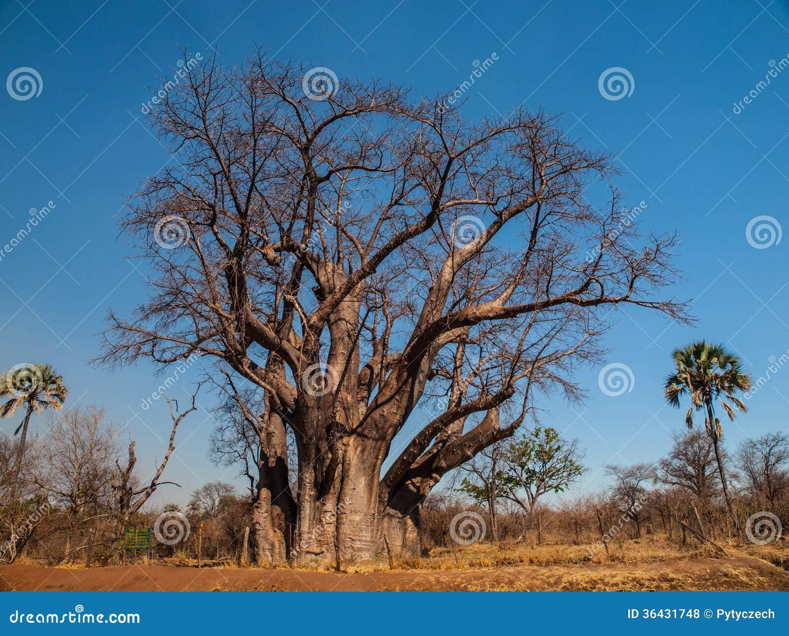 Grand arbre de baobab