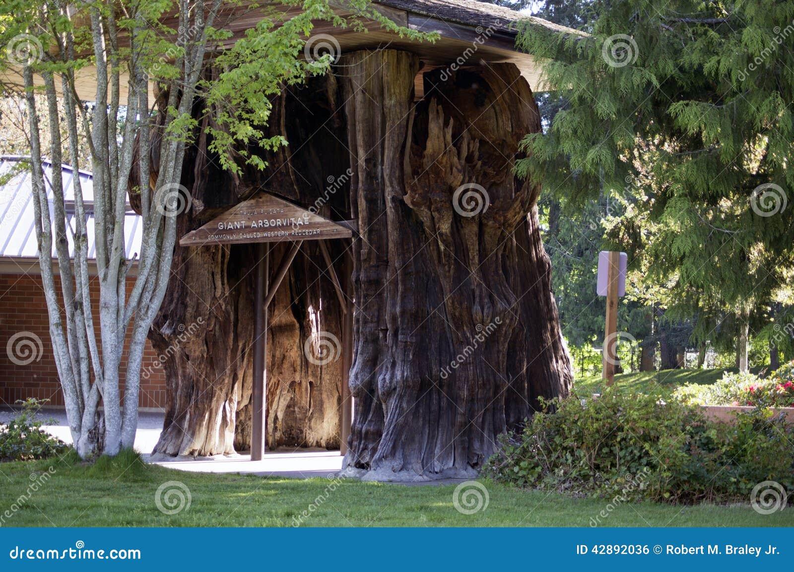 Grand arbre de cèdre