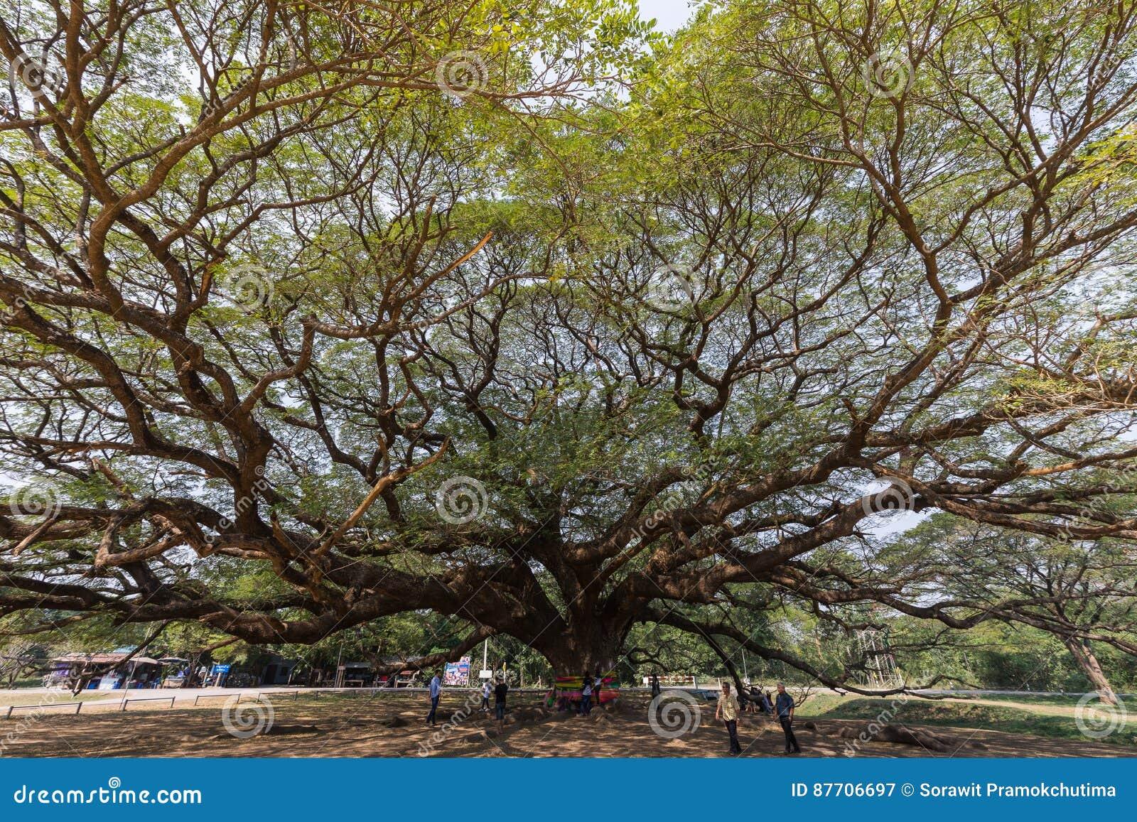Grand arbre de saman de Samanea